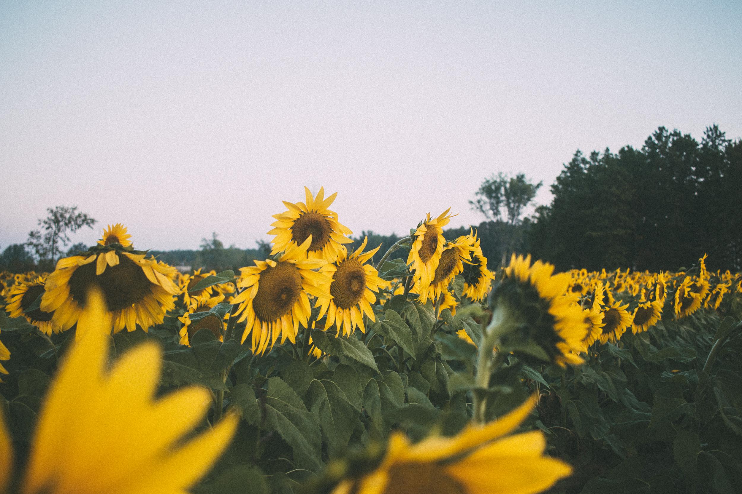 AvonOHSunflowers_09232017_050.jpg