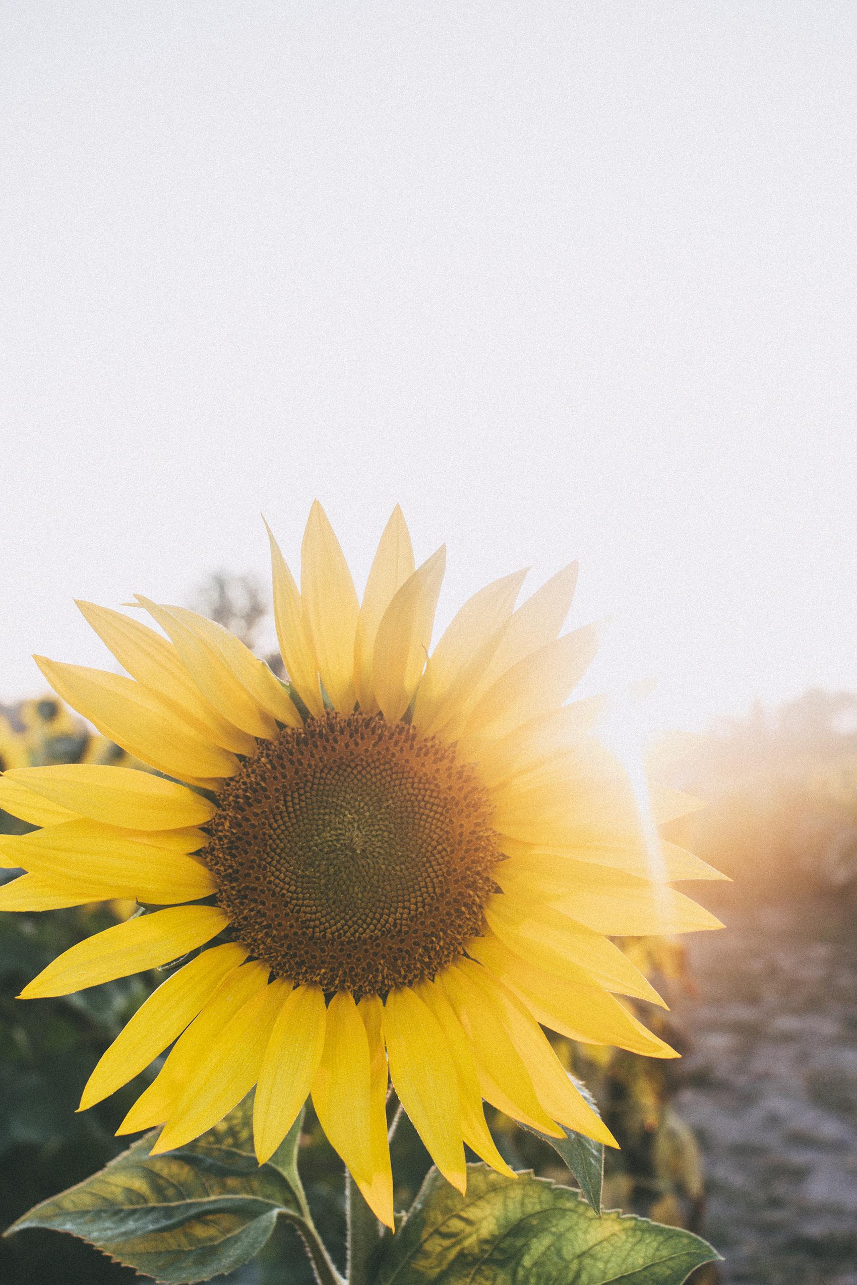 AvonOHSunflowers_09232017_134.jpg
