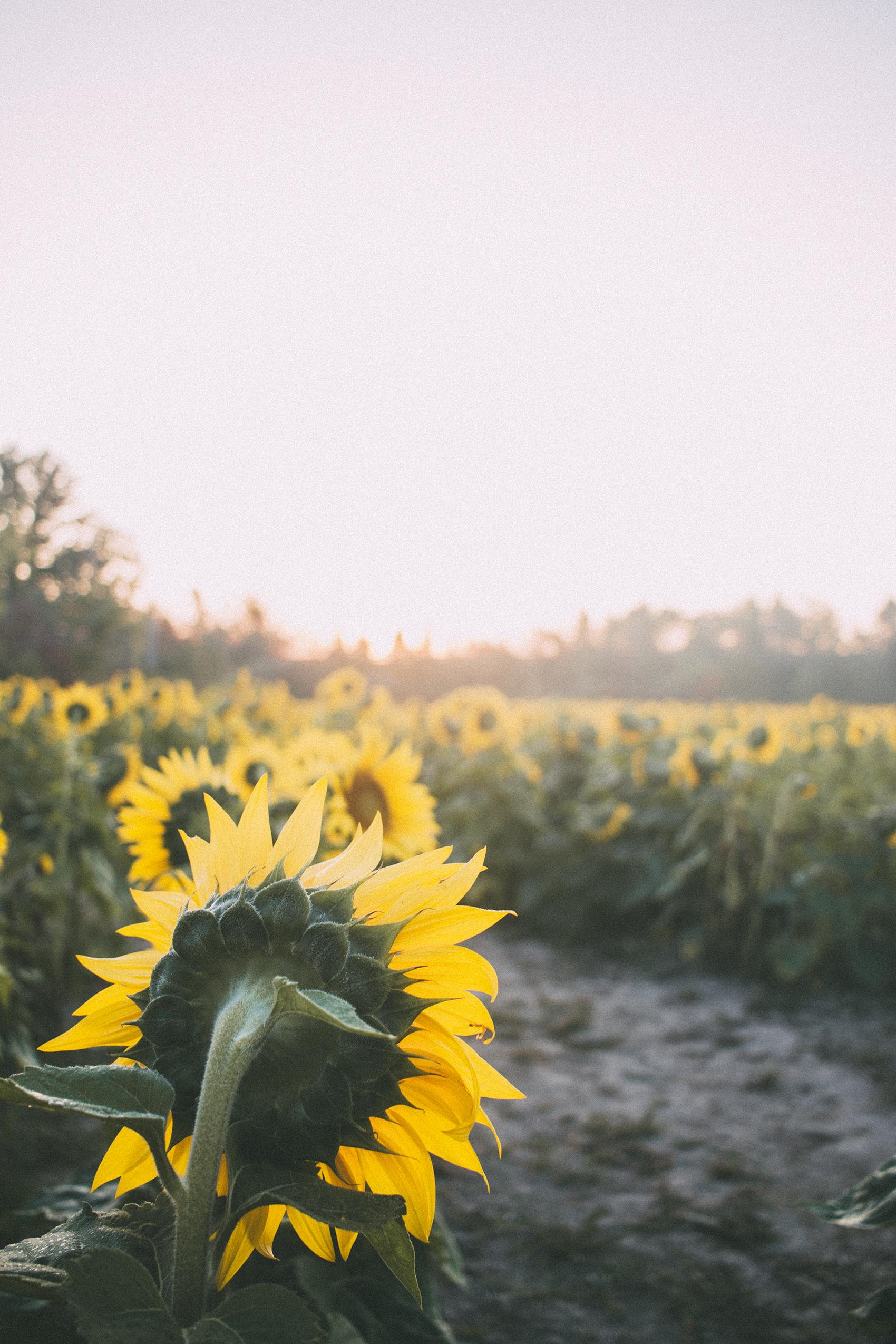 AvonOHSunflowers_09232017_102.jpg