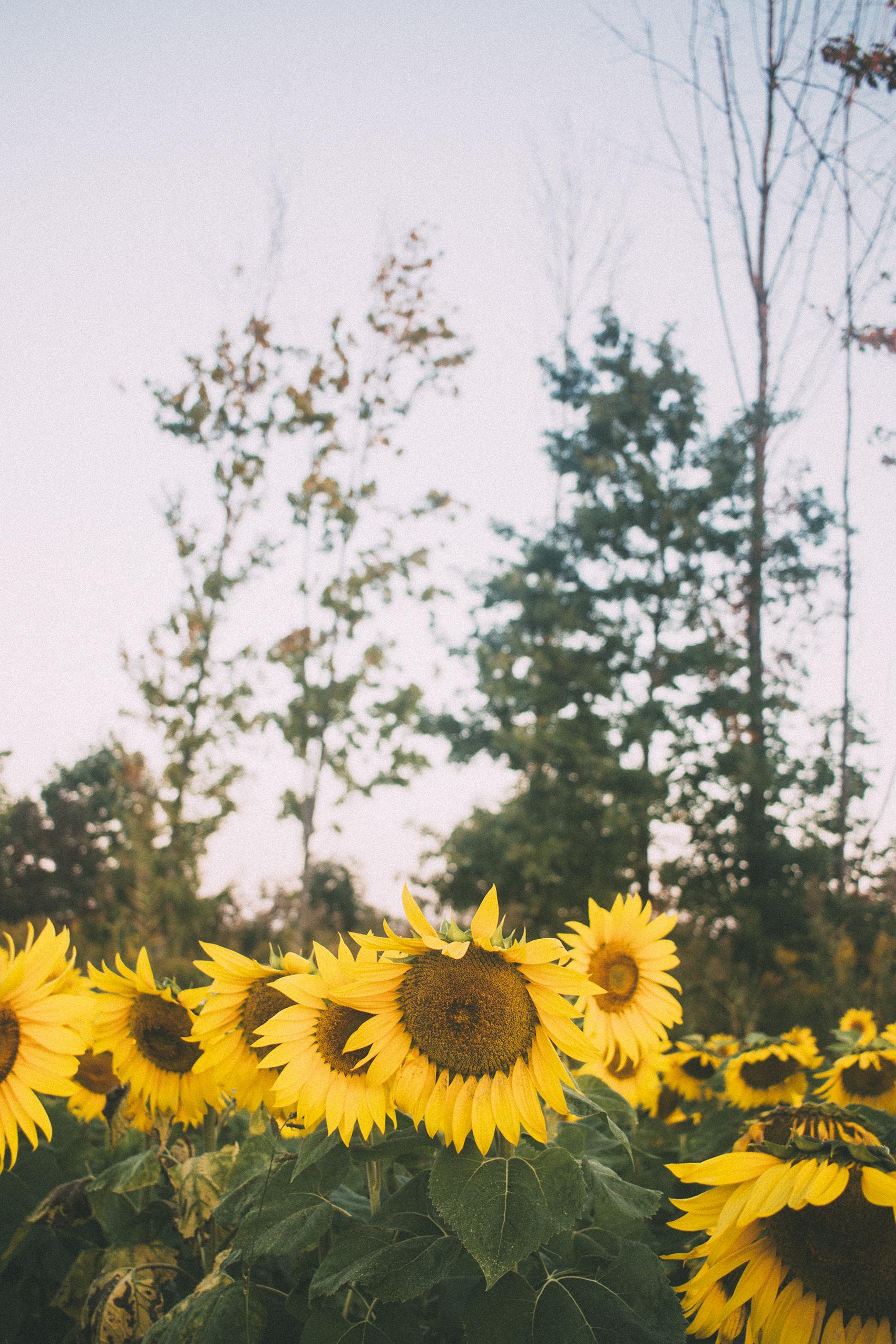 AvonOHSunflowers_09232017_101.jpg