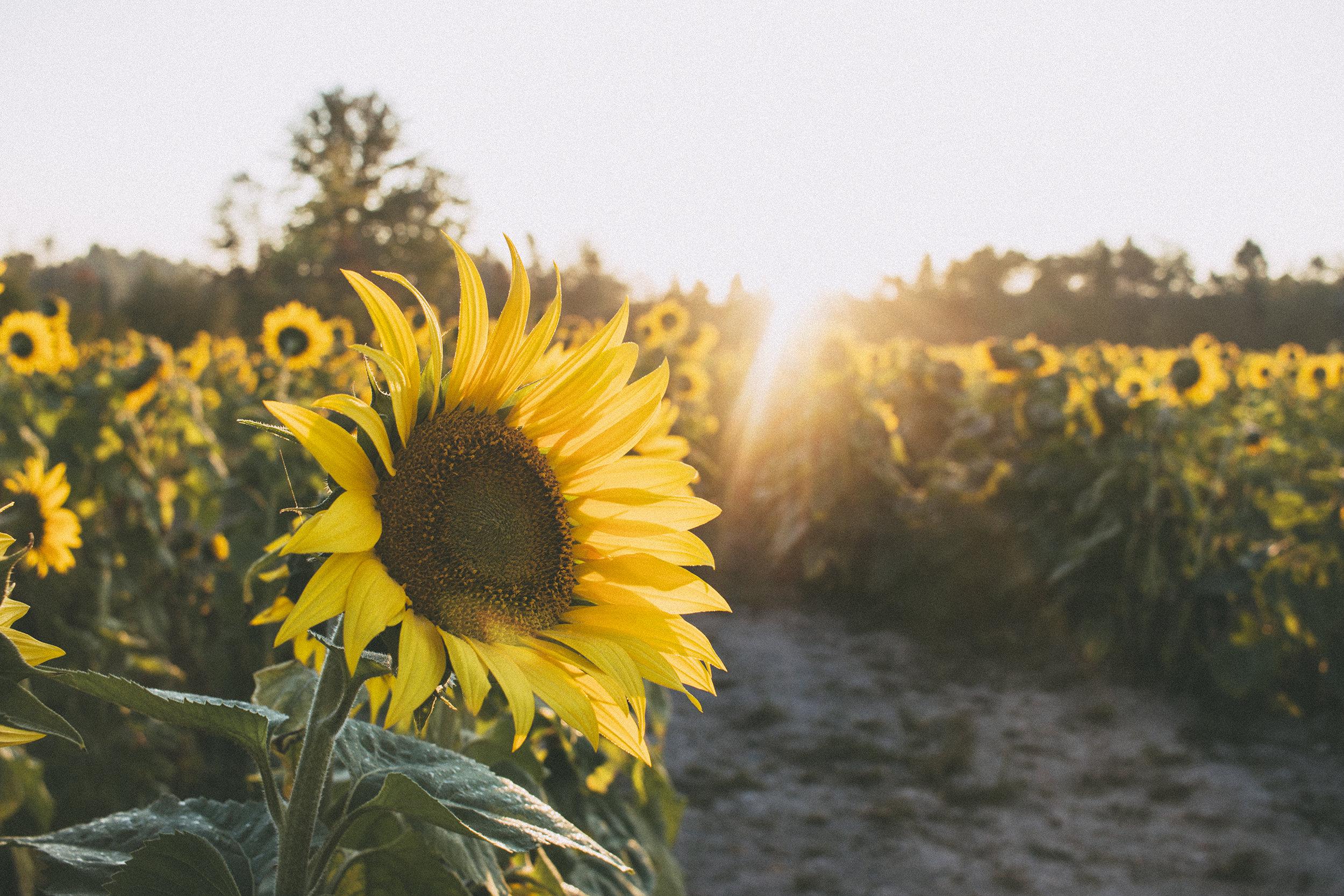 AvonOHSunflowers_09232017_200.jpg