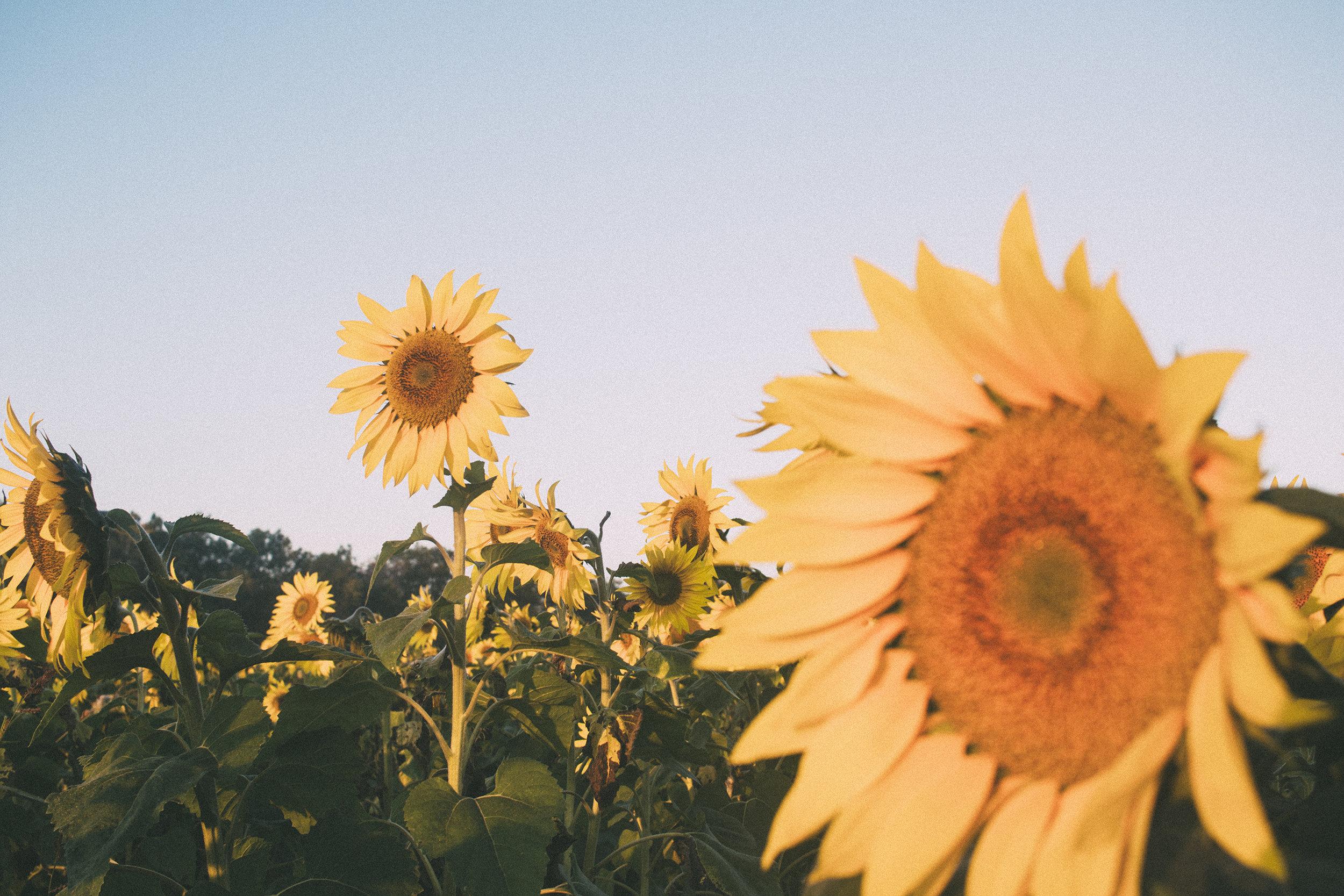 AvonOHSunflowers_09232017_164.jpg