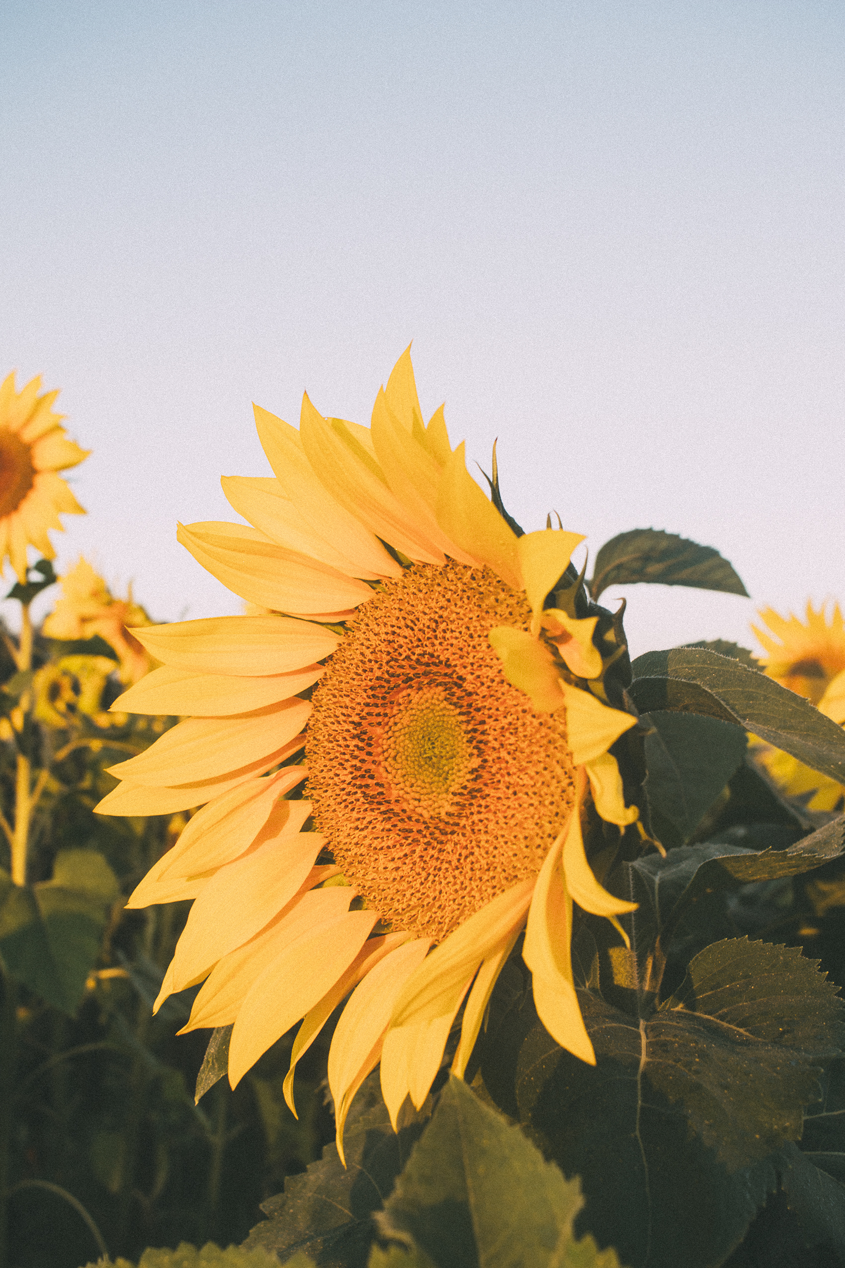 AvonOHSunflowers_09232017_165.jpg