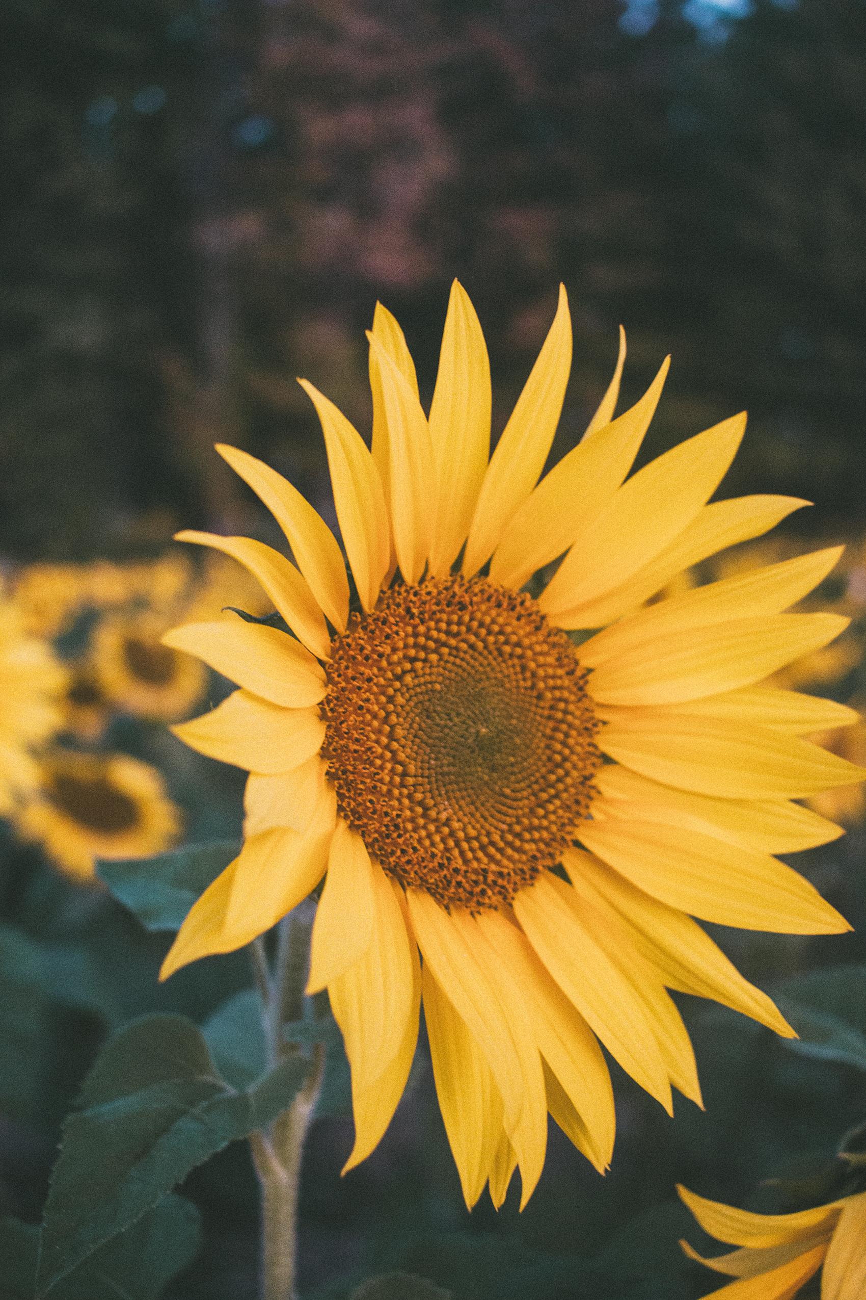AvonOHSunflowers_09232017_013.jpg