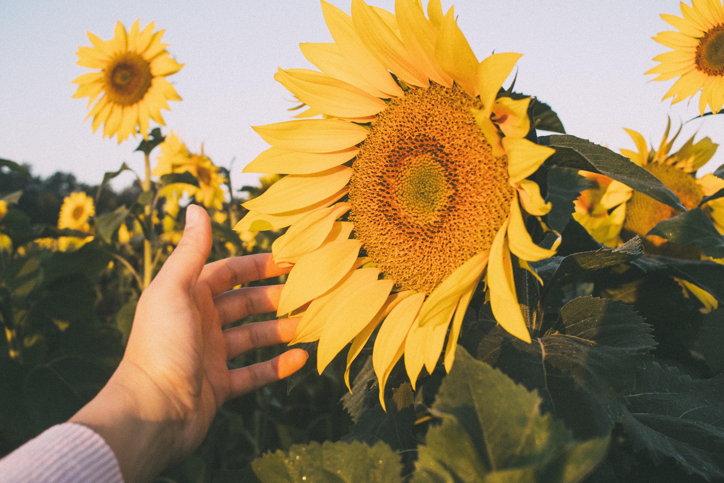 AvonOHSunflowers_09232017_167.jpg