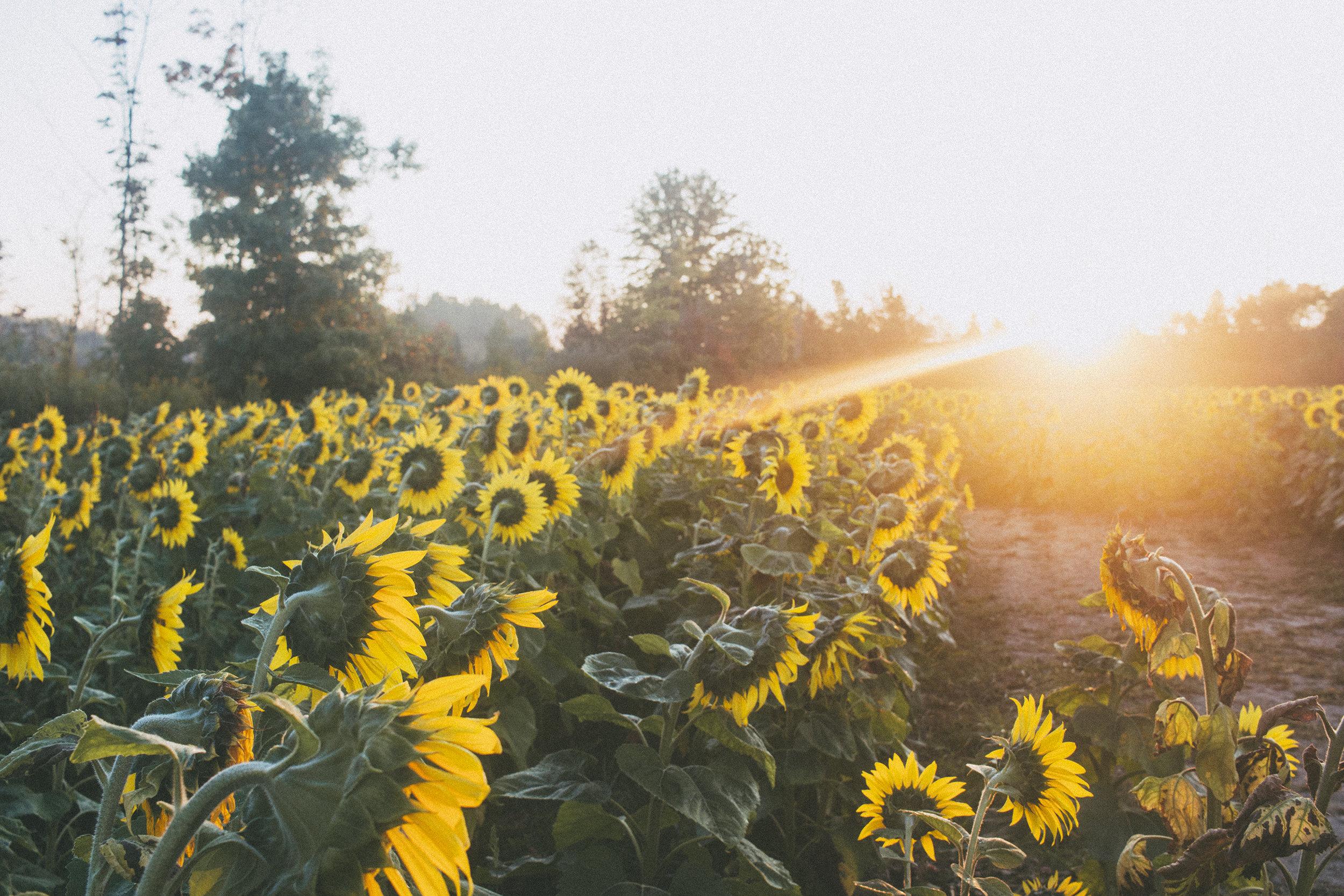 AvonOHSunflowers_09232017_143.jpg