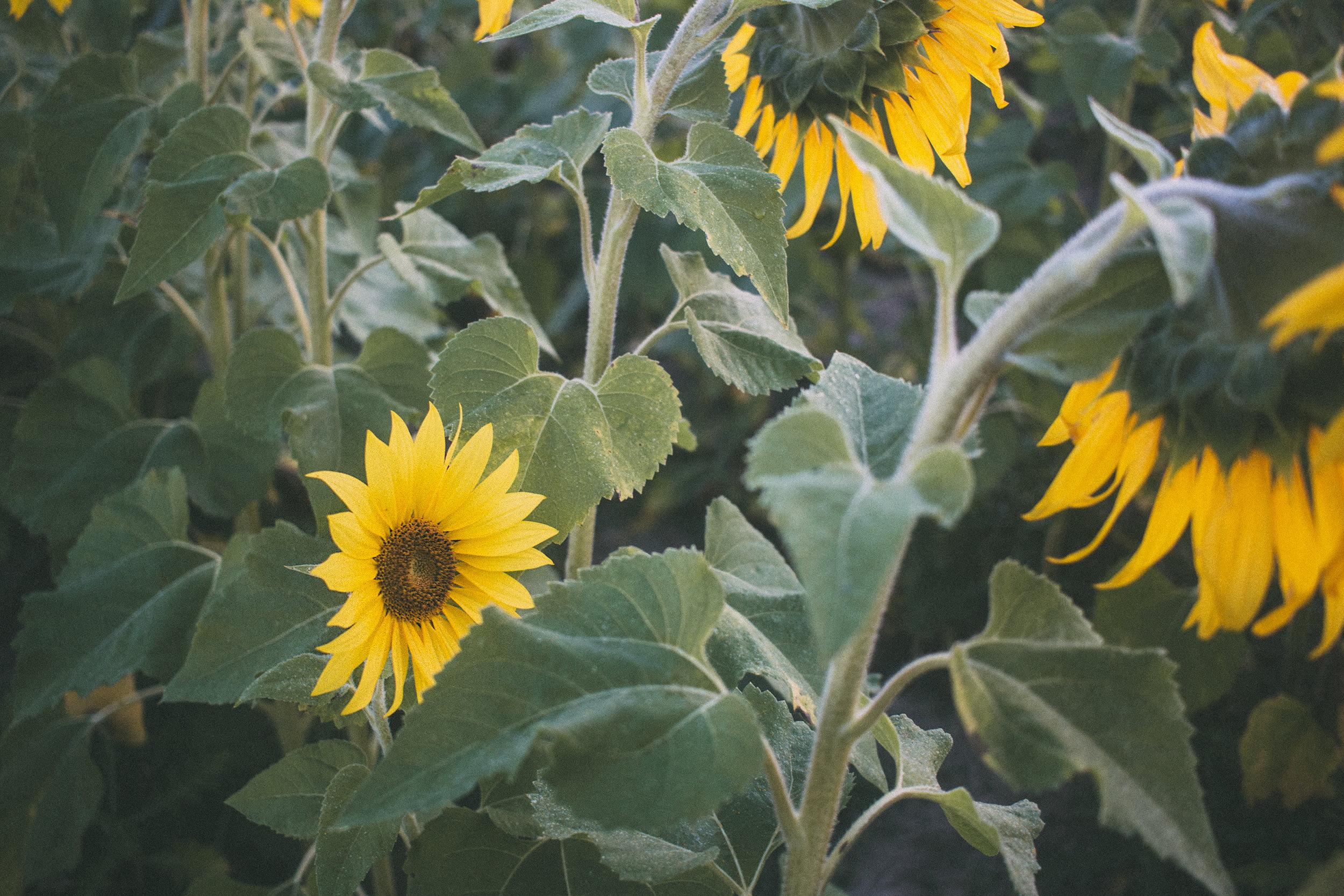 AvonOHSunflowers_09232017_072.jpg