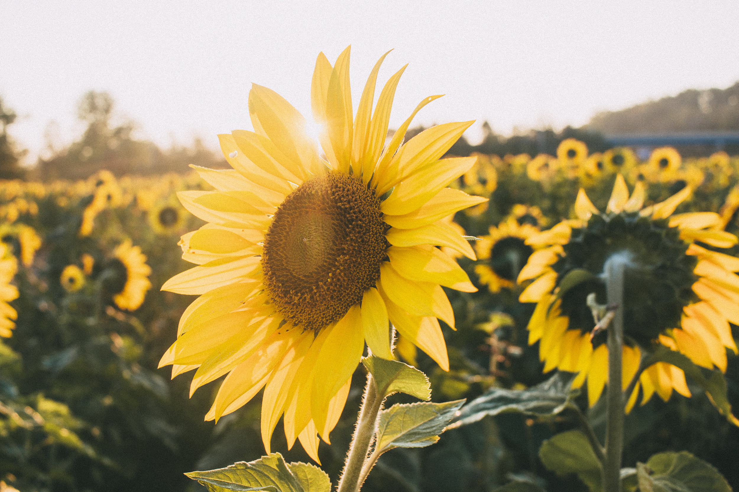 AvonOHSunflowers_09232017_177.jpg