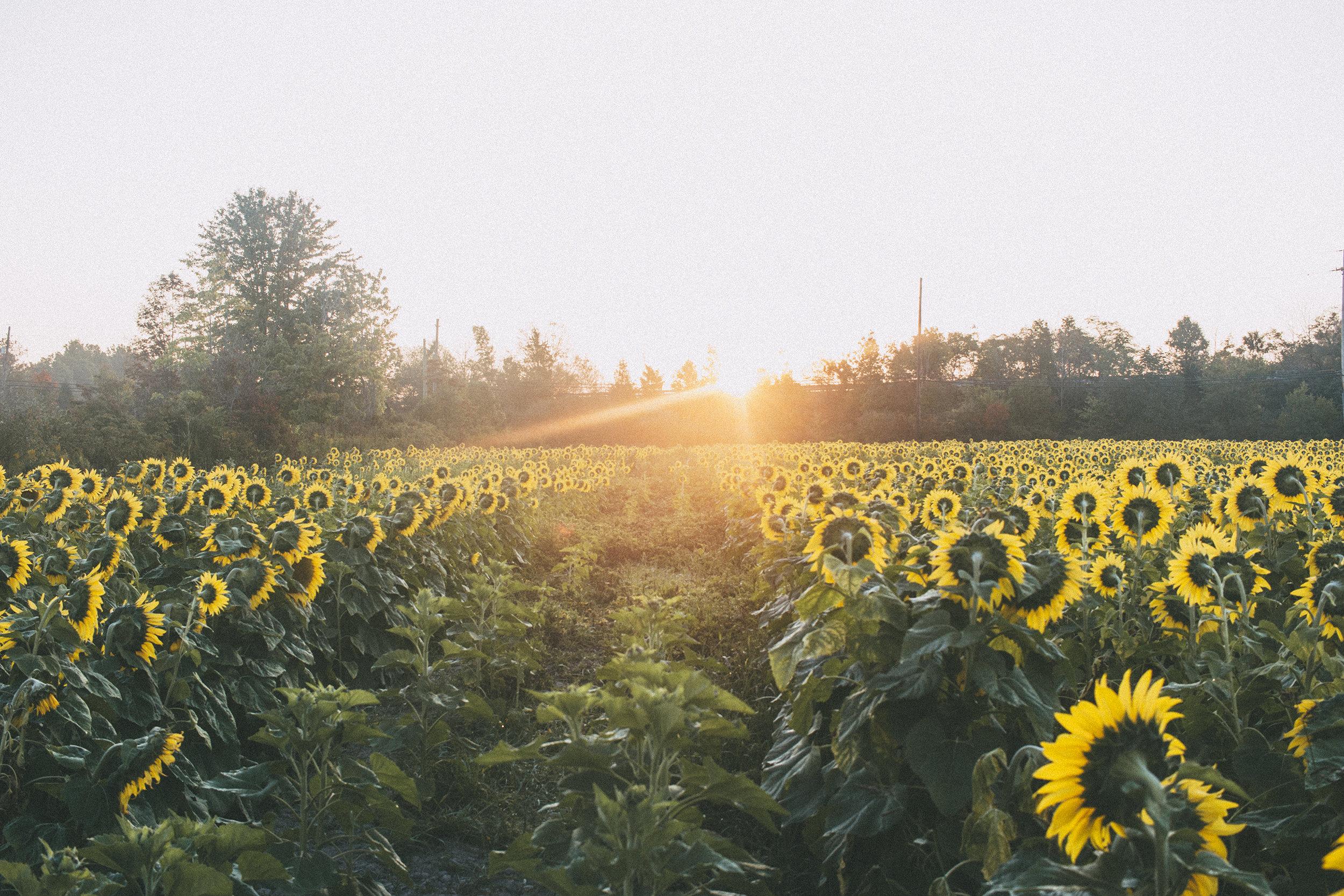 AvonOHSunflowers_09232017_123.jpg
