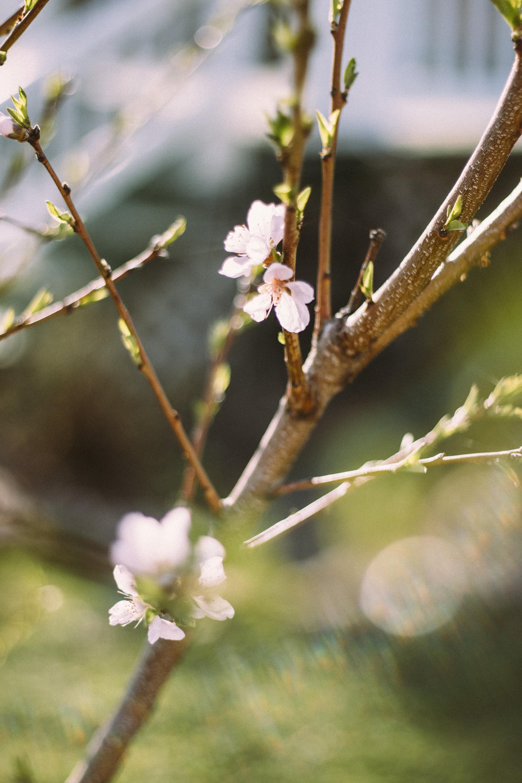 CherryBlossoms+Momo_05042018_014.jpg