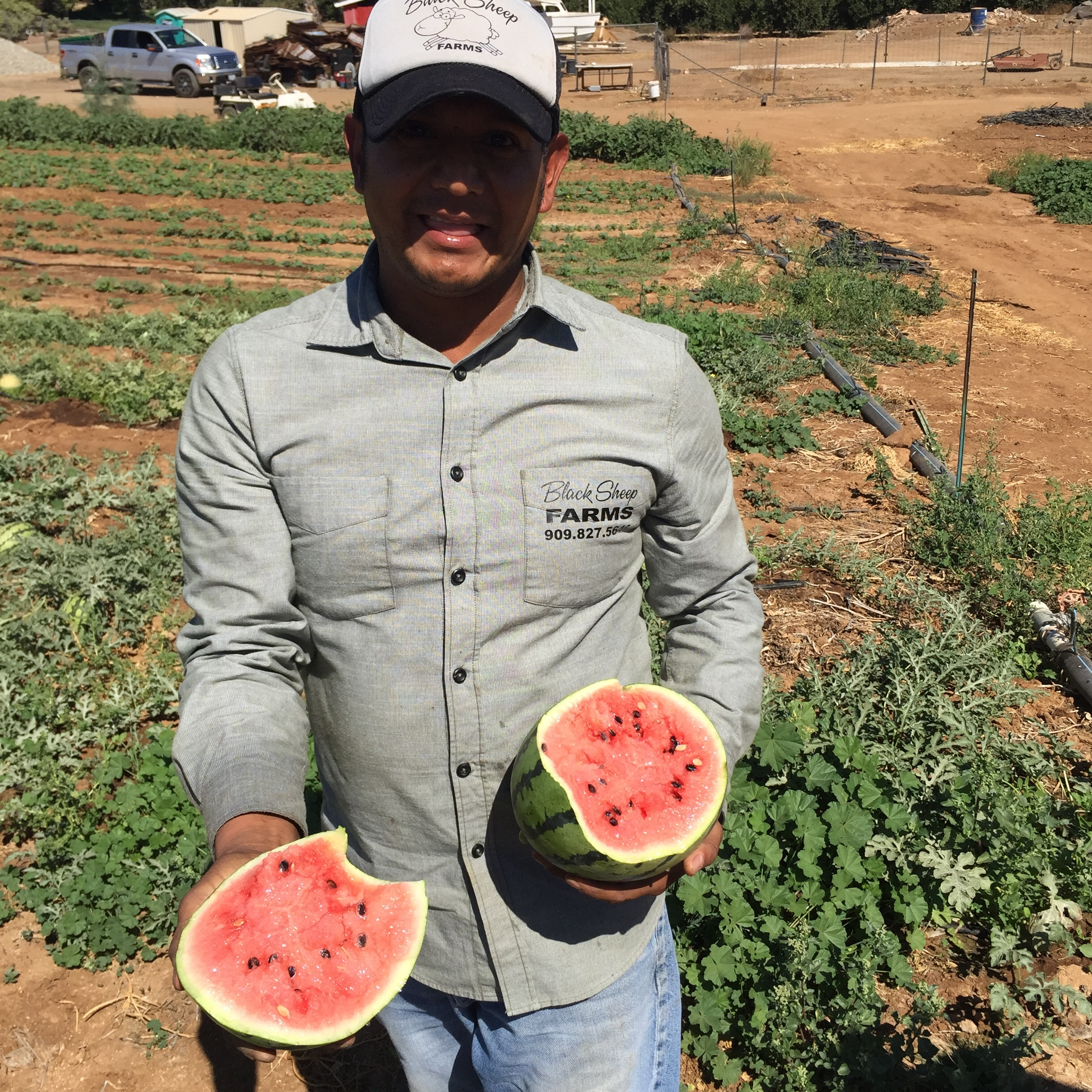 Tasting a freshly picked ripe watermelon from the vine. Very refreshing in the 95 degree heat.