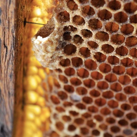 A queen's cell is noticeably larger in size because her body is much longer than the drone's and worker's especially during the egg-laying period!