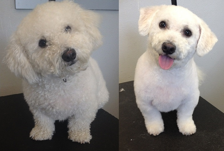 Before & After, neatening up a Bichon Frise.