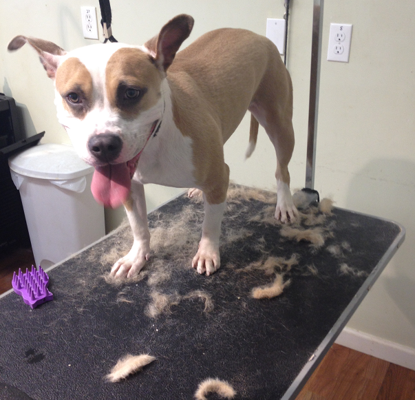 Even short haired dogs can benefit from professional grooming, our de-shedding package helps keep your home less hairy.