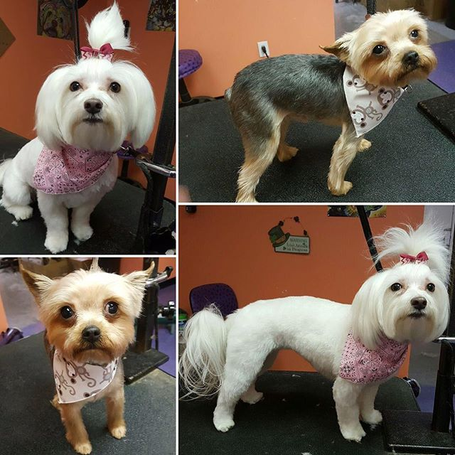 Denim and Tumbles looking adorable after their regular salon visit with #petstylist Kelly 😍🐶✂️ #professionalgrooming #petgrooming #doggrooming #tailsandtanglespetgrooming #yorkie #yorkshireterrier #maltese #dogsofinstagram #woof