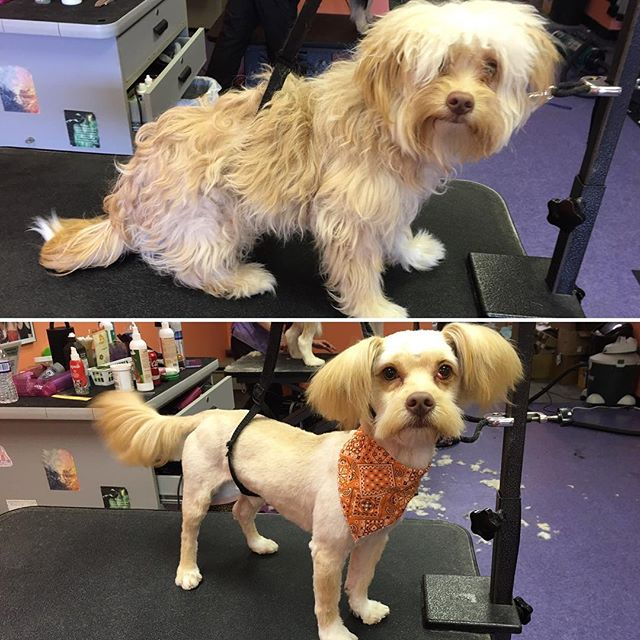 King before and after his springtime clean up 🐶✂️ #professionalgrooming #petgrooming #doggrooming #cleancut #beforeandafter #transfurmation #transfurmationtuesday #mustache #woof #tailsandtanglespetgrooming #springisintheair #humanityovervanity