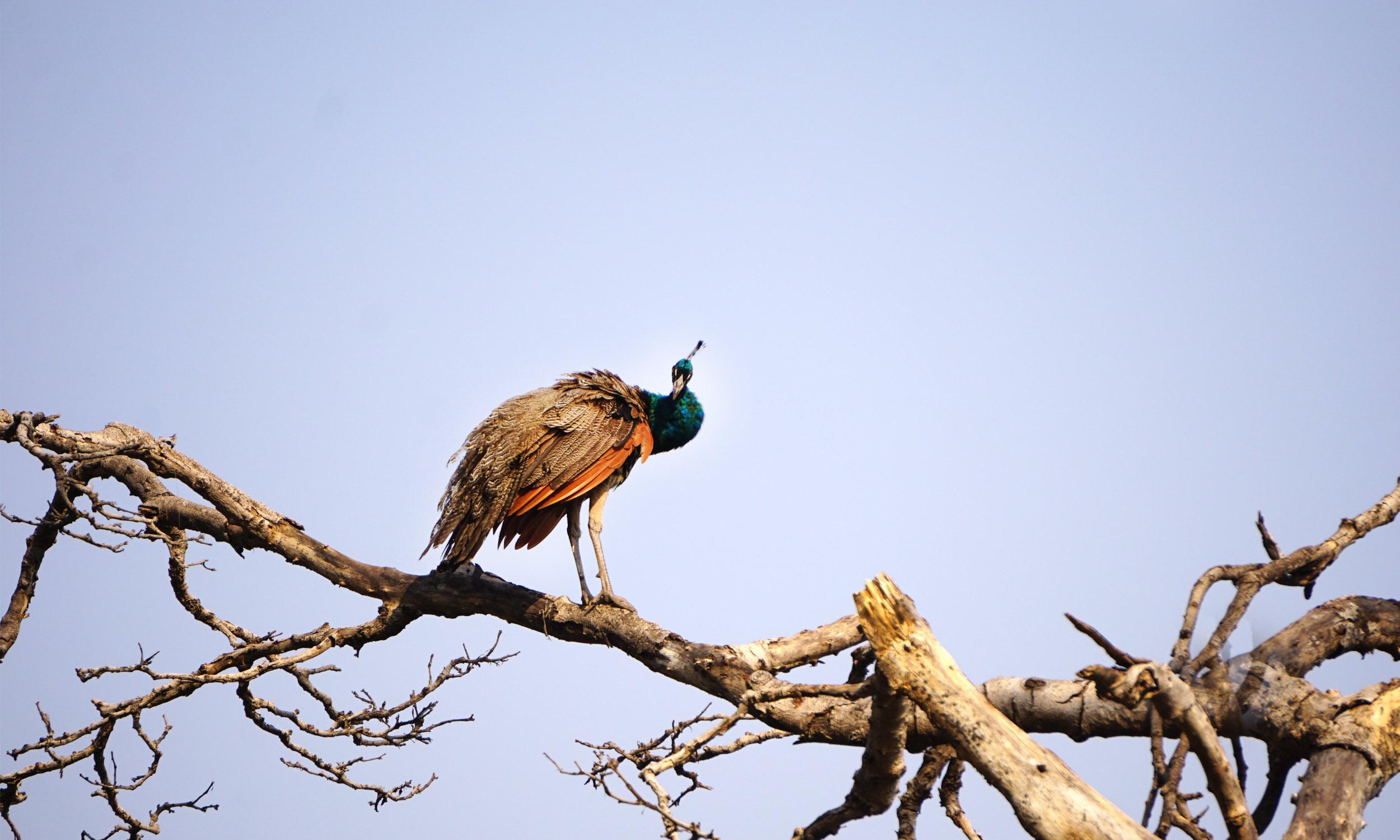 peacock_india.jpg