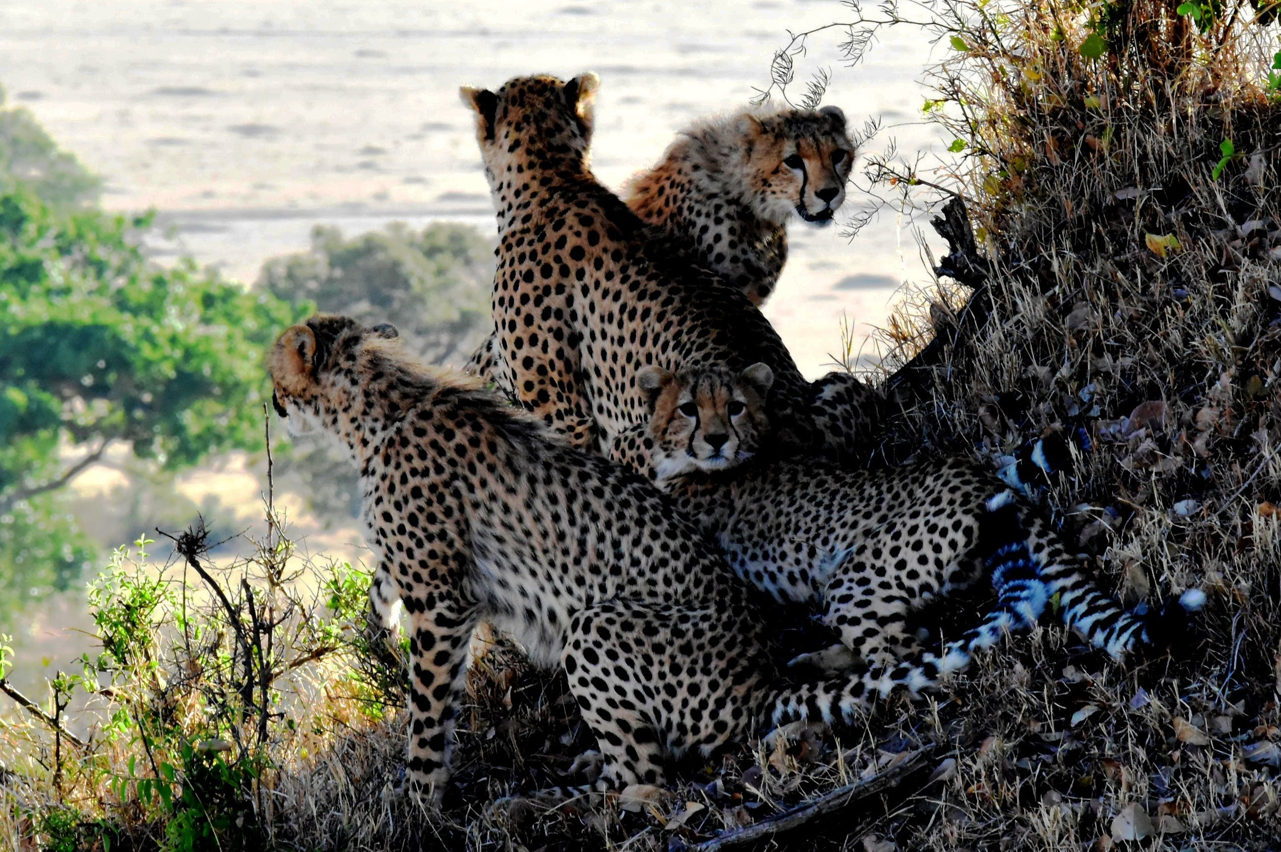 leopards-family-animals-tanzania-160459.jpeg
