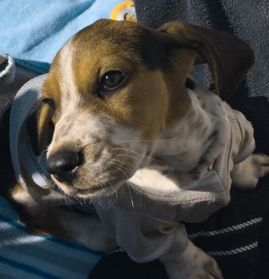 Charlie Sue is a nine week old Basset up for adoption. Oh Charlie Sue, those ears!