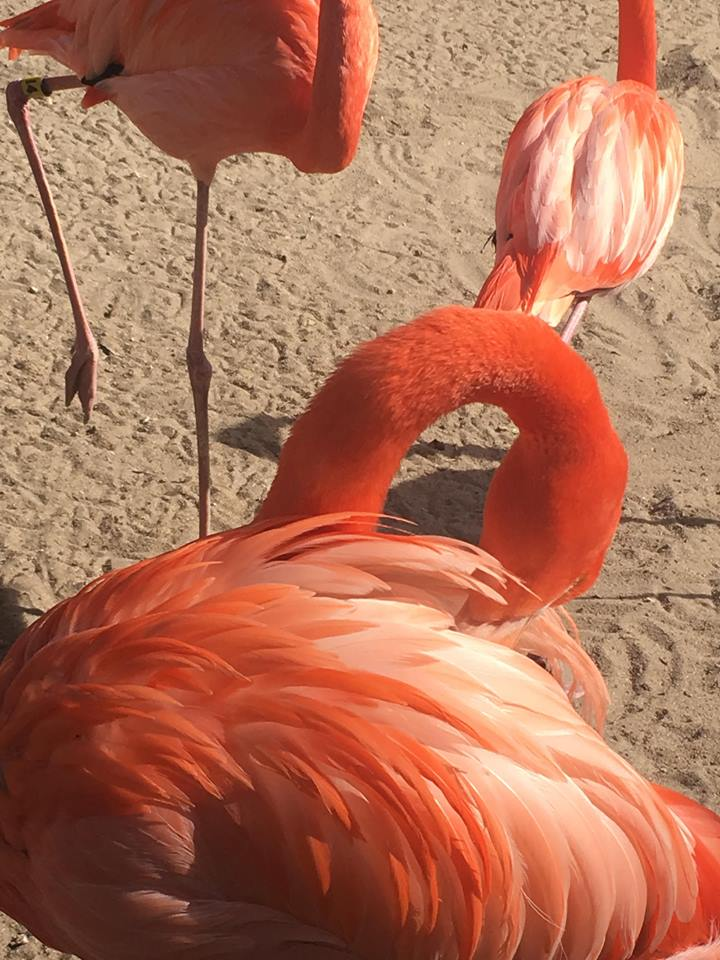 Flamingos are just the most gorgeous birds! Look at those feathers!