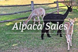 alpaca-sales.jpg