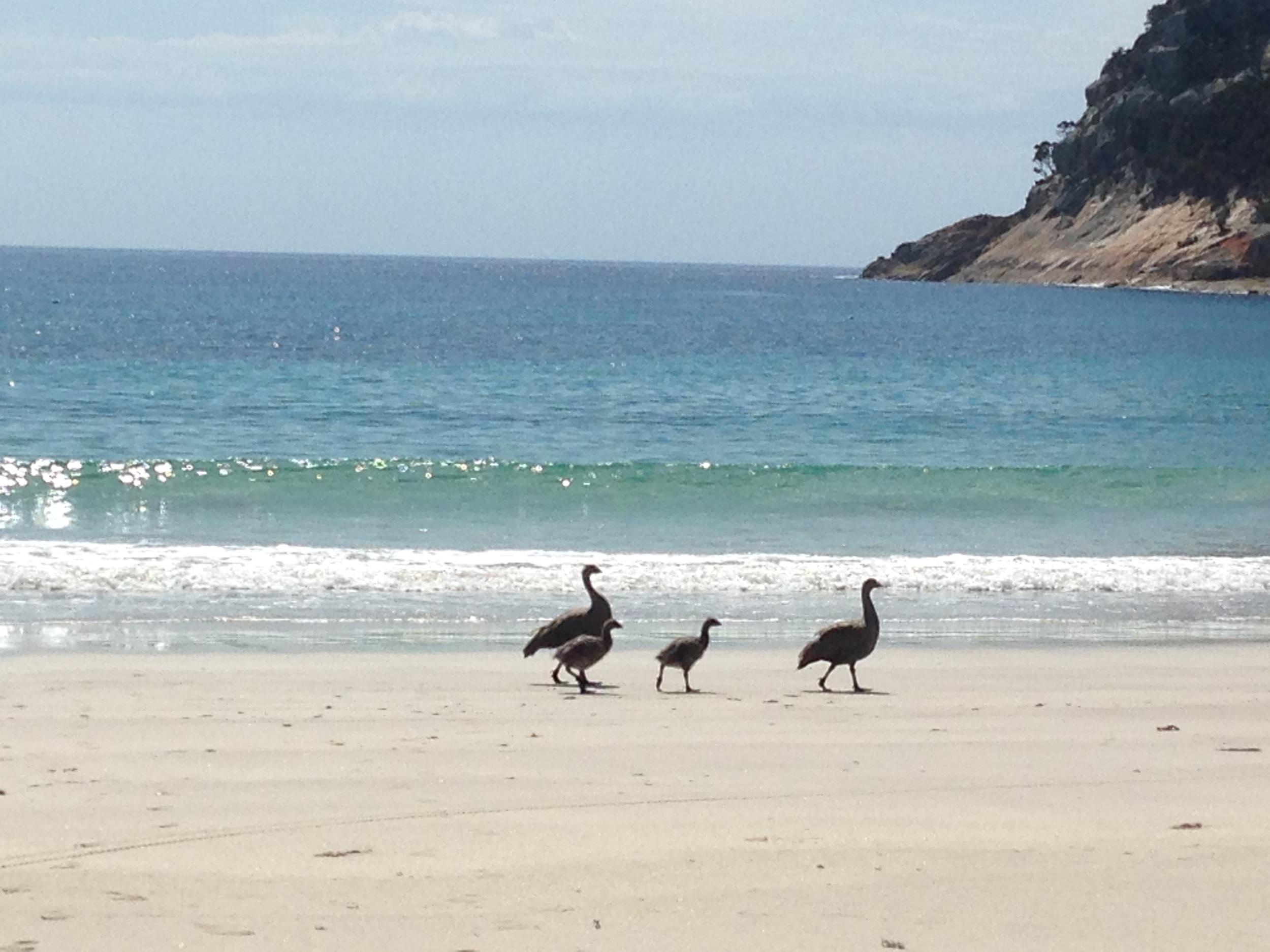 A Cape Barren goose family at garden cove.