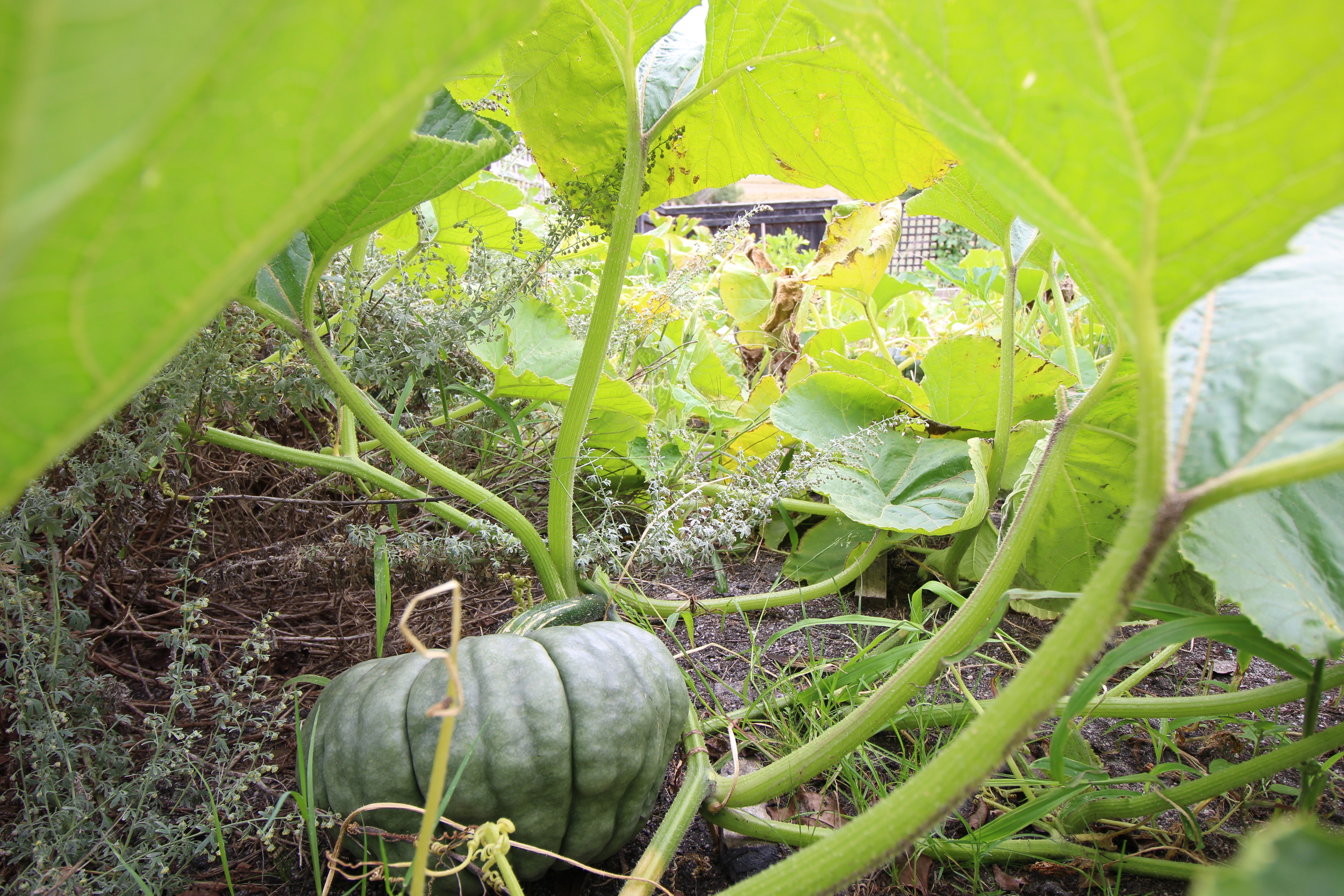 One of the many Giant pumpkins in the garden ... hmm what shall i make out of you