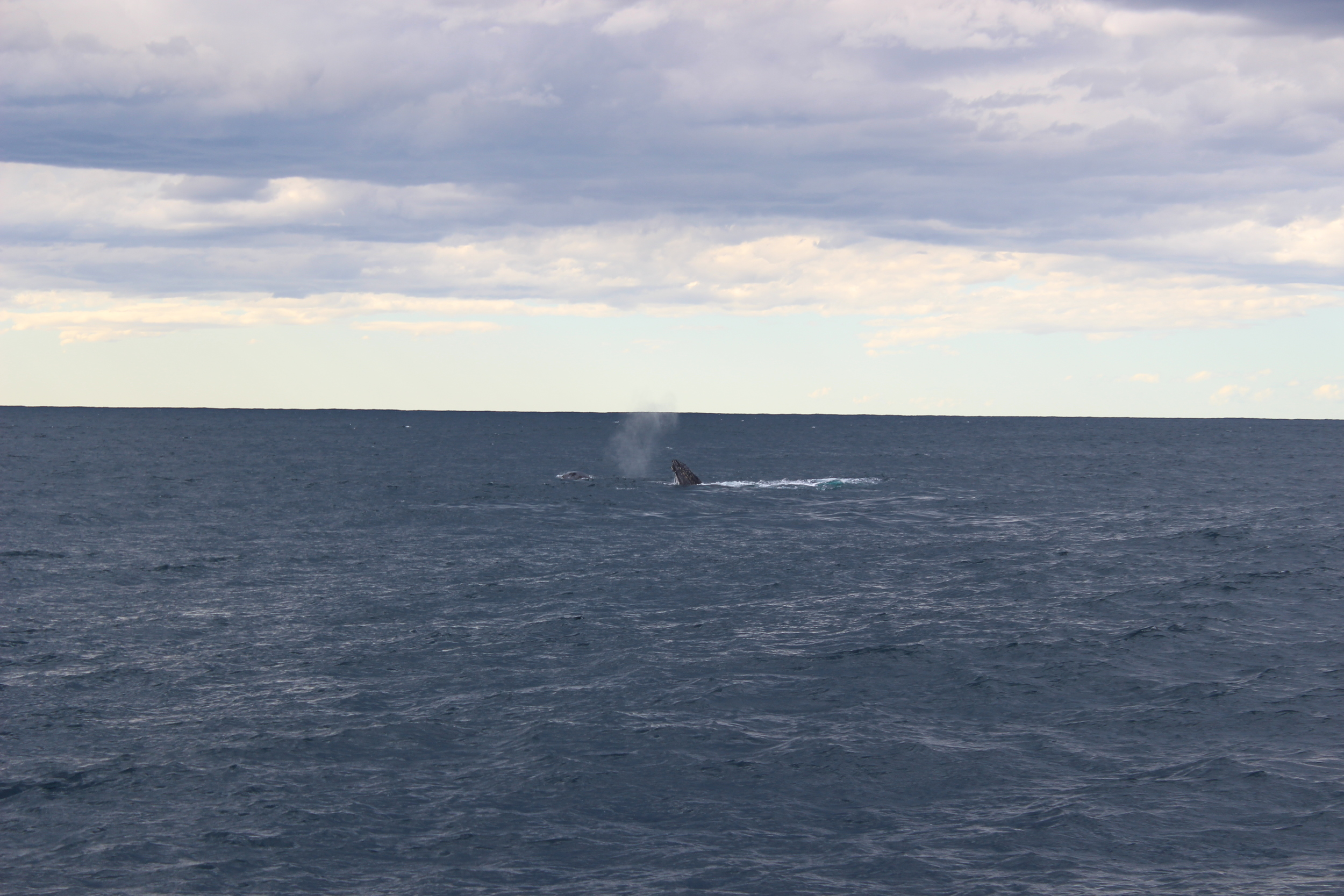 We were lucky enough to spot some Humpback whales quite close to Roam, about 300 meters off our starboard bow.