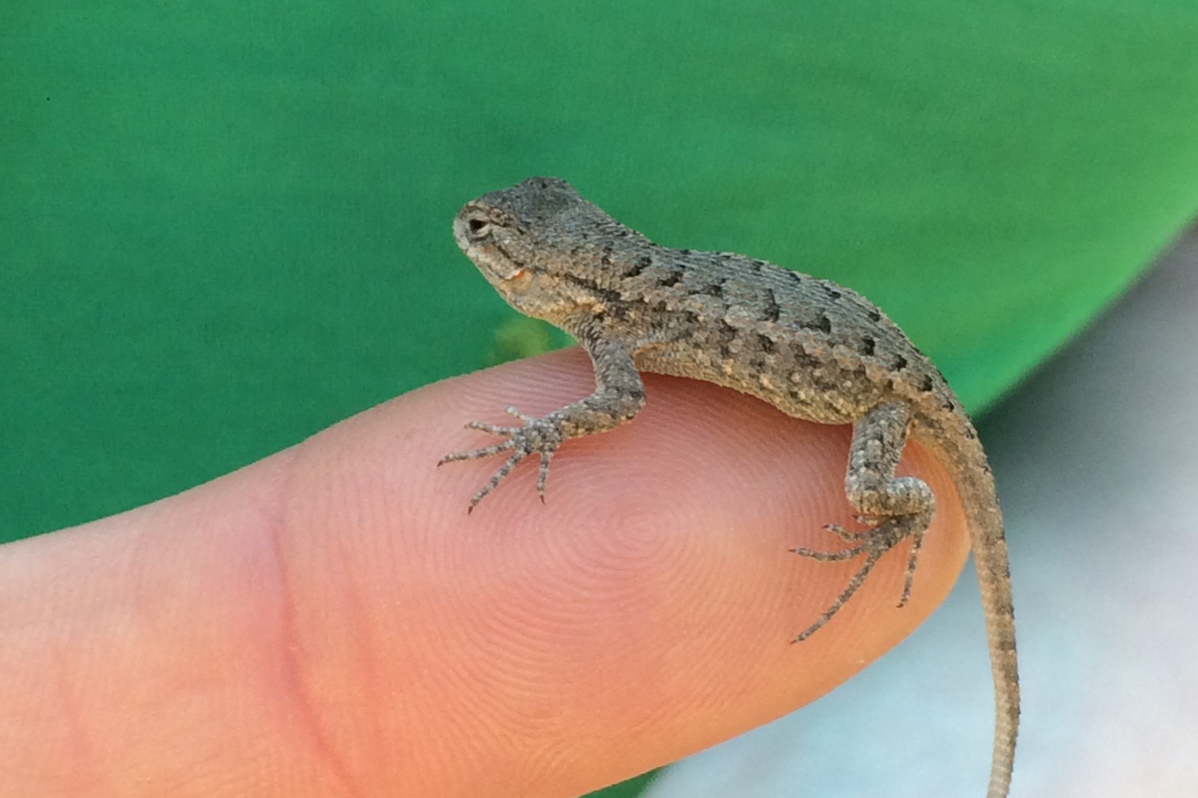 Photo of Small Western Fence Lizard sitting on a fingertip