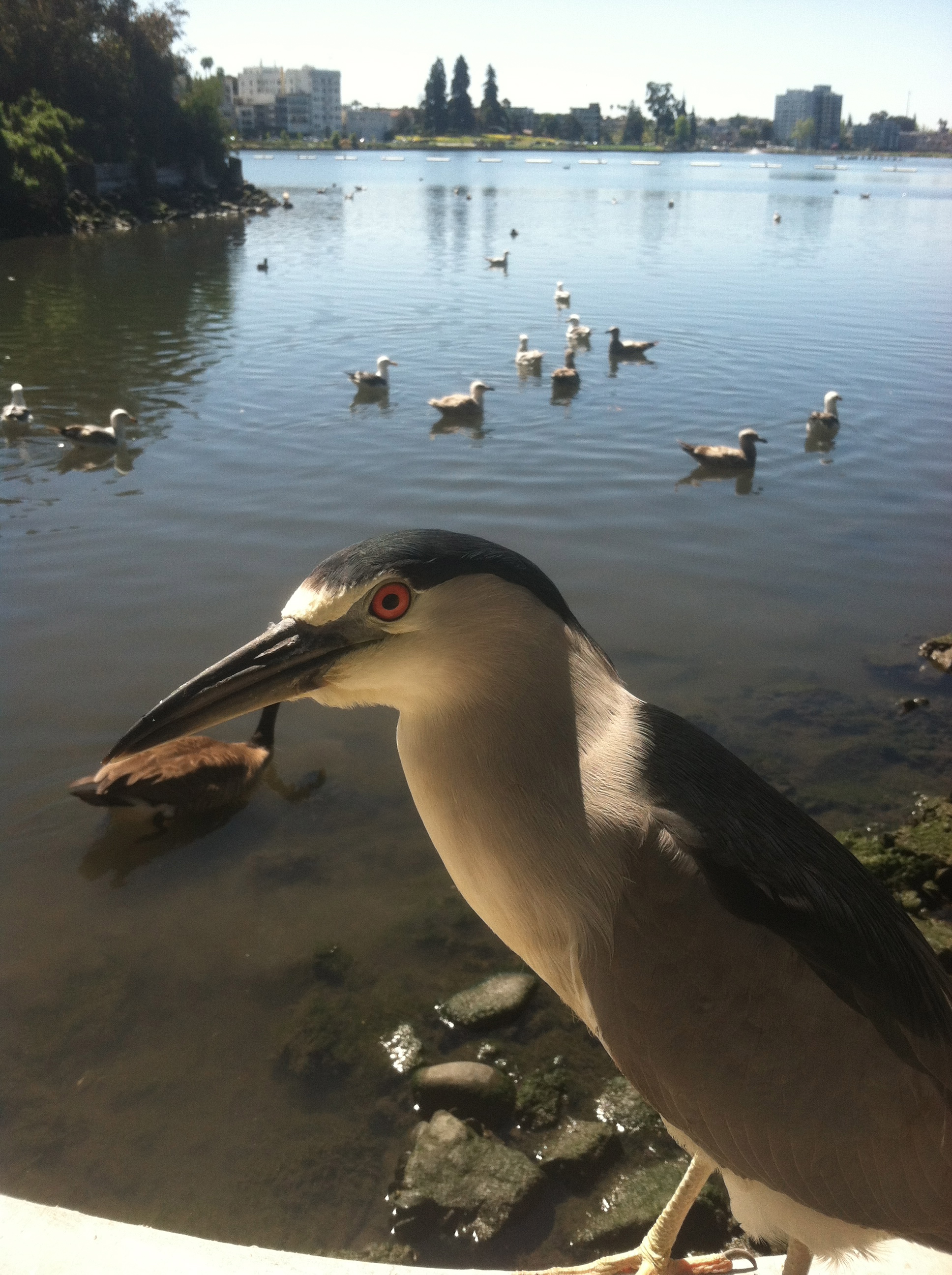Night heron,  Nycticorax nycticorax , at Lake Merritt, Photo: Lo Scheiner