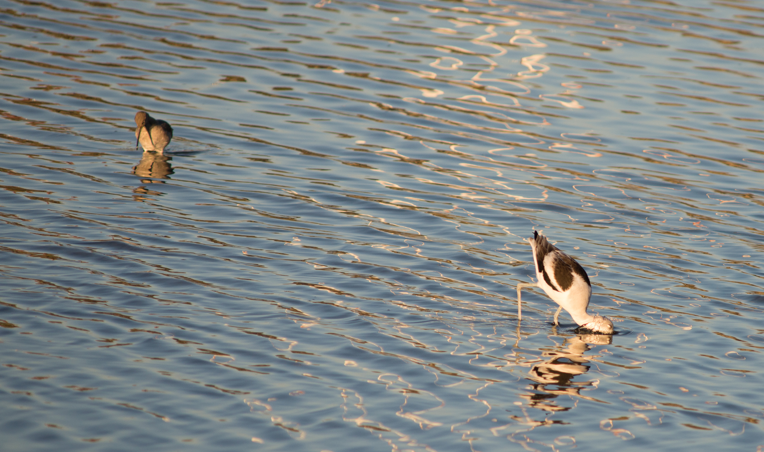 An American Avocet dips down for some food at Middle Harbor Shoreline Park. (Photo: Tony Iwane)