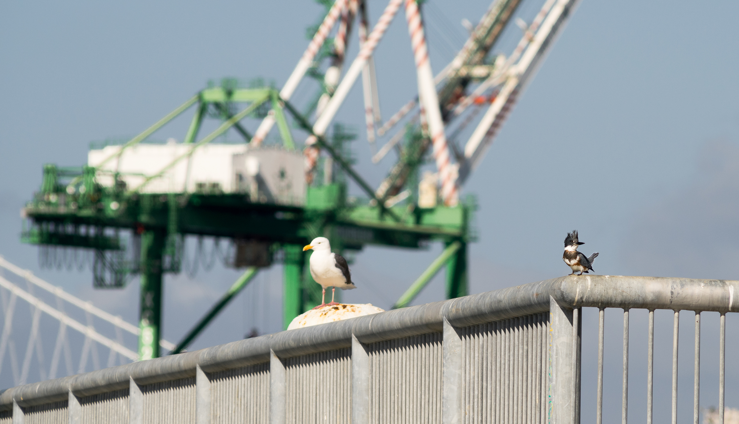 A Western Gull and Belted Kingfisher hanging out at Middle Harbor Shoreline Park. (Photo: Tony Iwane)