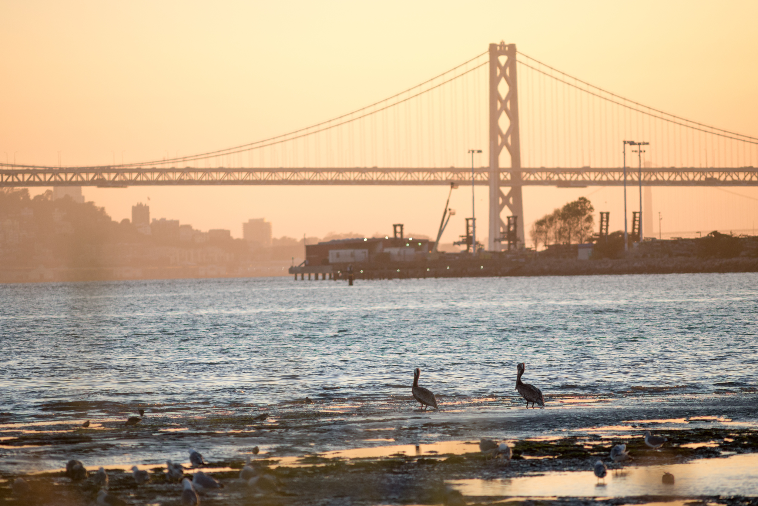 Brown Pelicans watch the sunset at Middle Harbor Shoreline Park. (Photo: Tony Iwane)