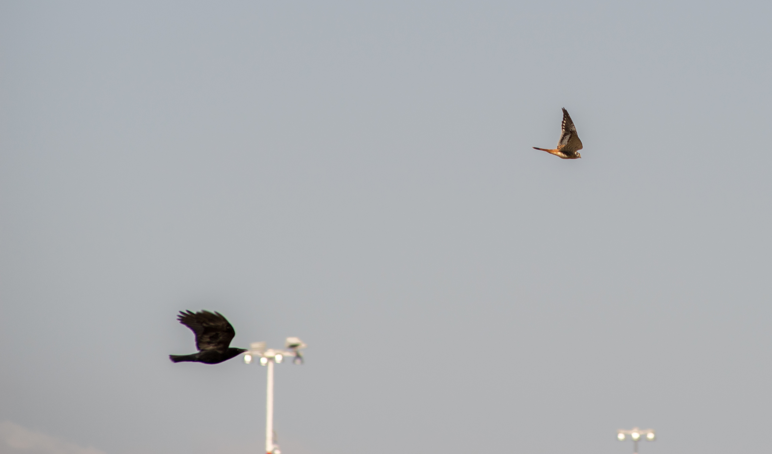 An American Kestrel being harassed by an American Crow at Middle Harbor Shoreline Park. (Photo: Tony Iwane)