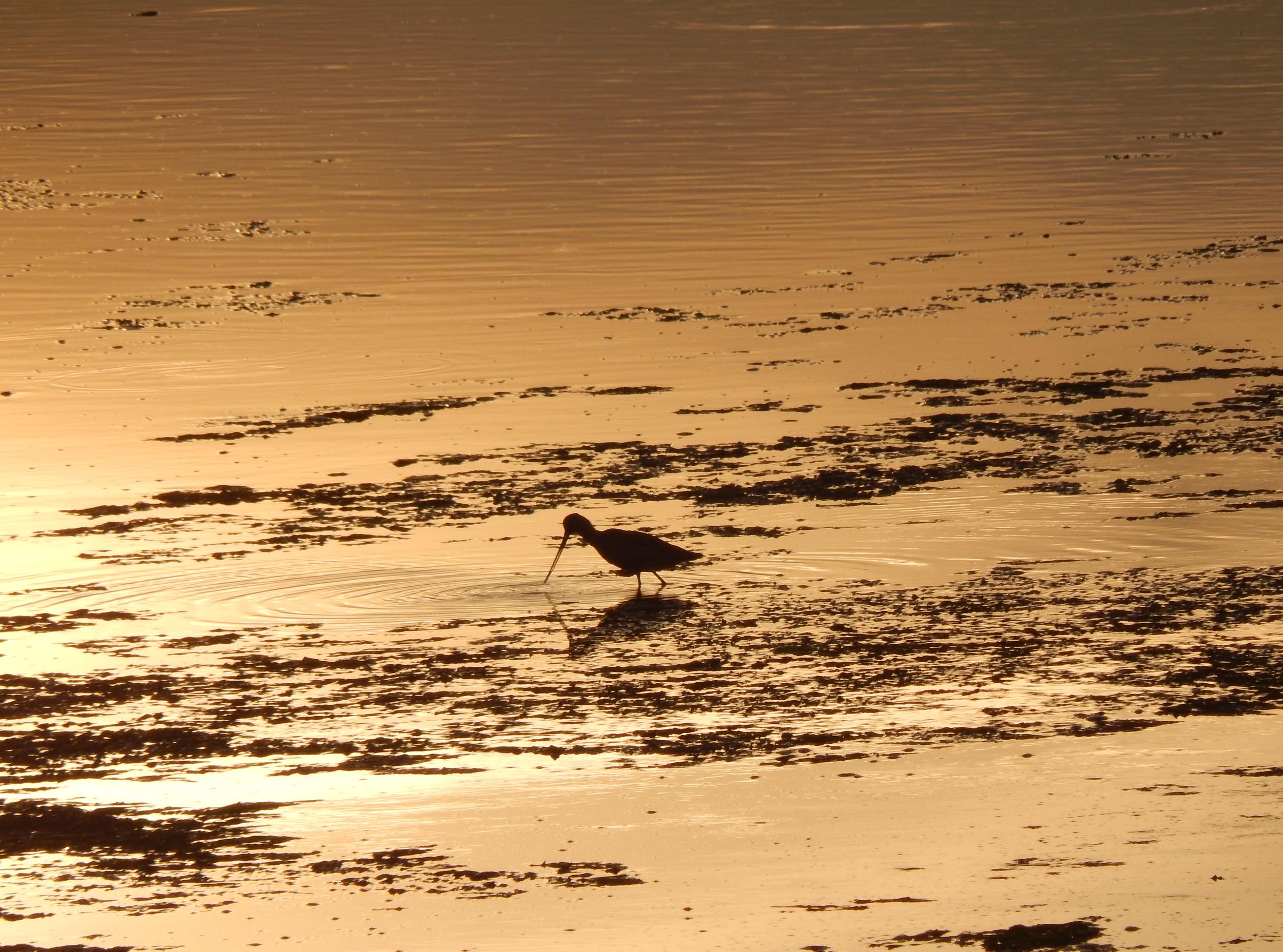 A Marbled Godwit (Limosa fedoa) at sunset. (Danielle Doyle)