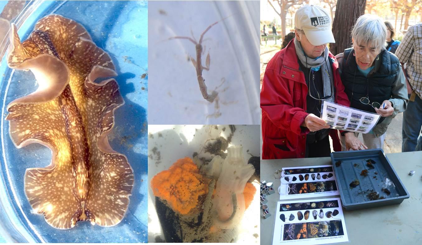 A sampling of Lake Merritt's invertebrates; a flatworm, skeleton shrimp and two tunicates
