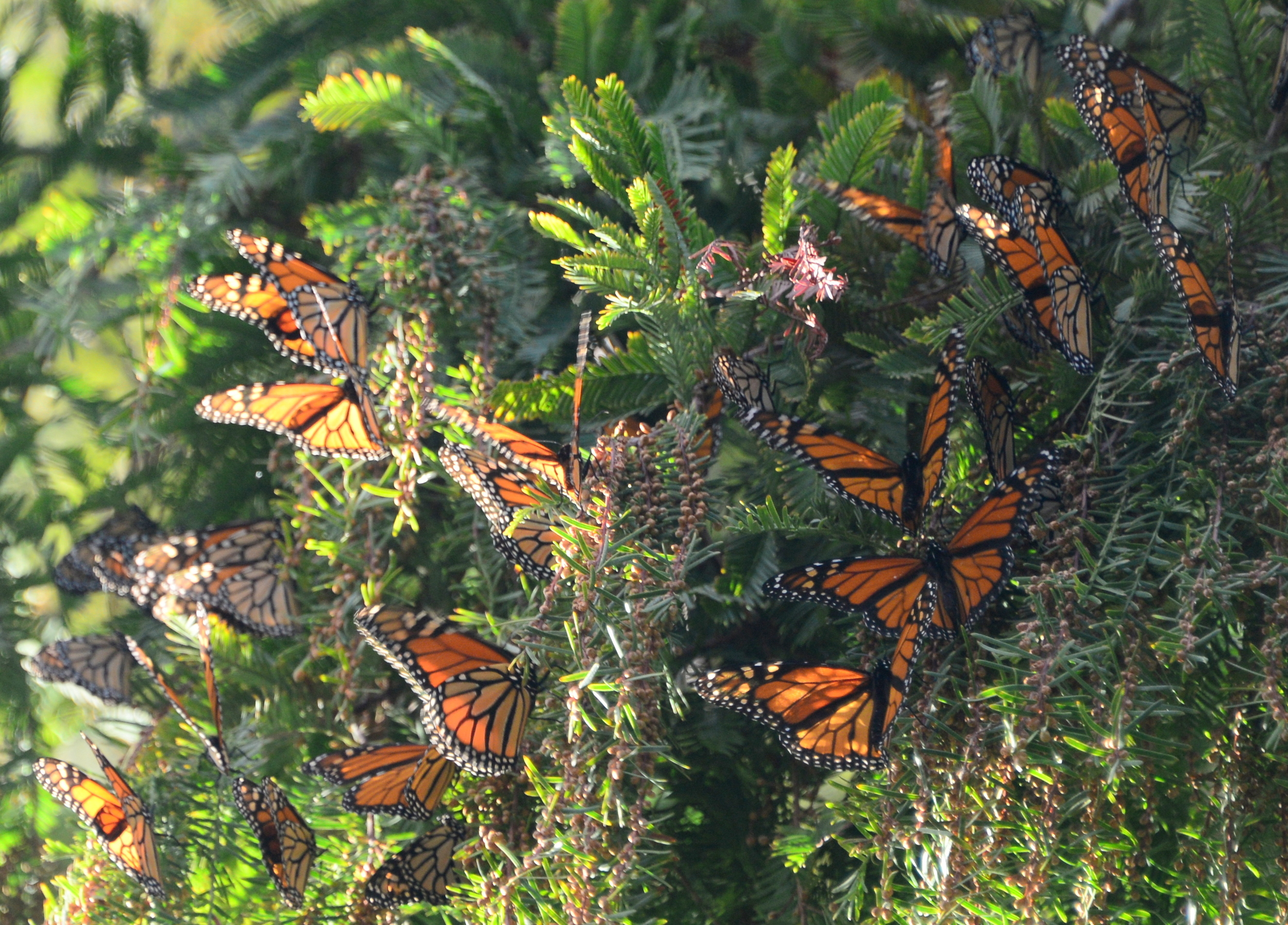 Monarchs clustering on Dawn Redwood branches in the Lake Merritt Gardens
