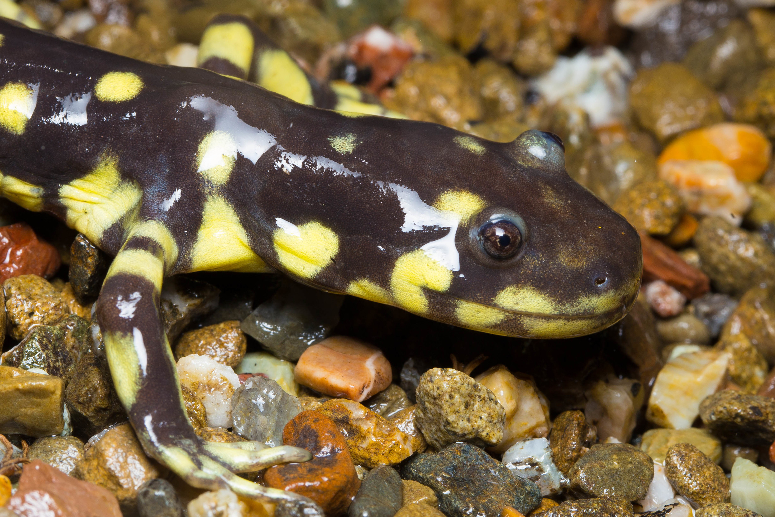 California Tiger Salamander ( Ambystoma californiense ). Photo:  © Ken-ichi Ueda