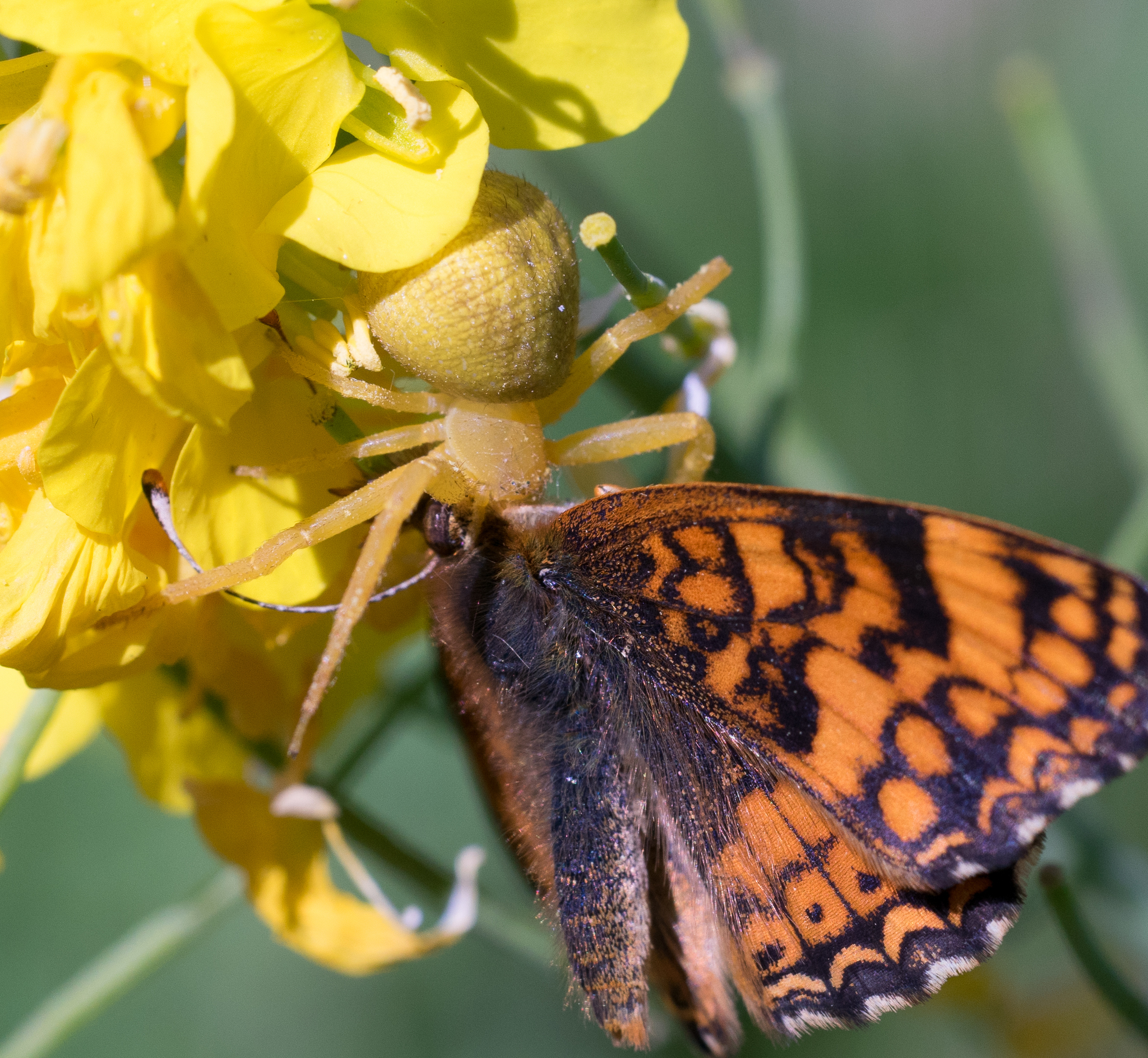 A Goldenrod Crab Spider with its Mylitta Crescent lunch. Photo by Tony Iwane.