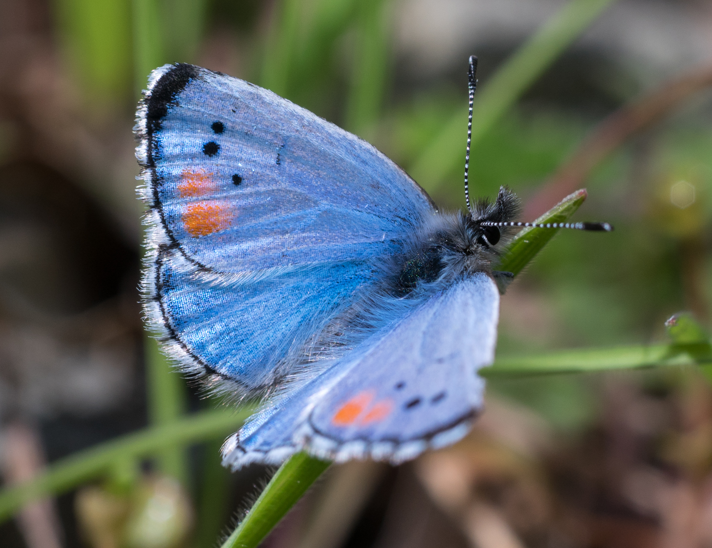 A male Sonoran Blue butterfly. Photo by Tony Iwane.