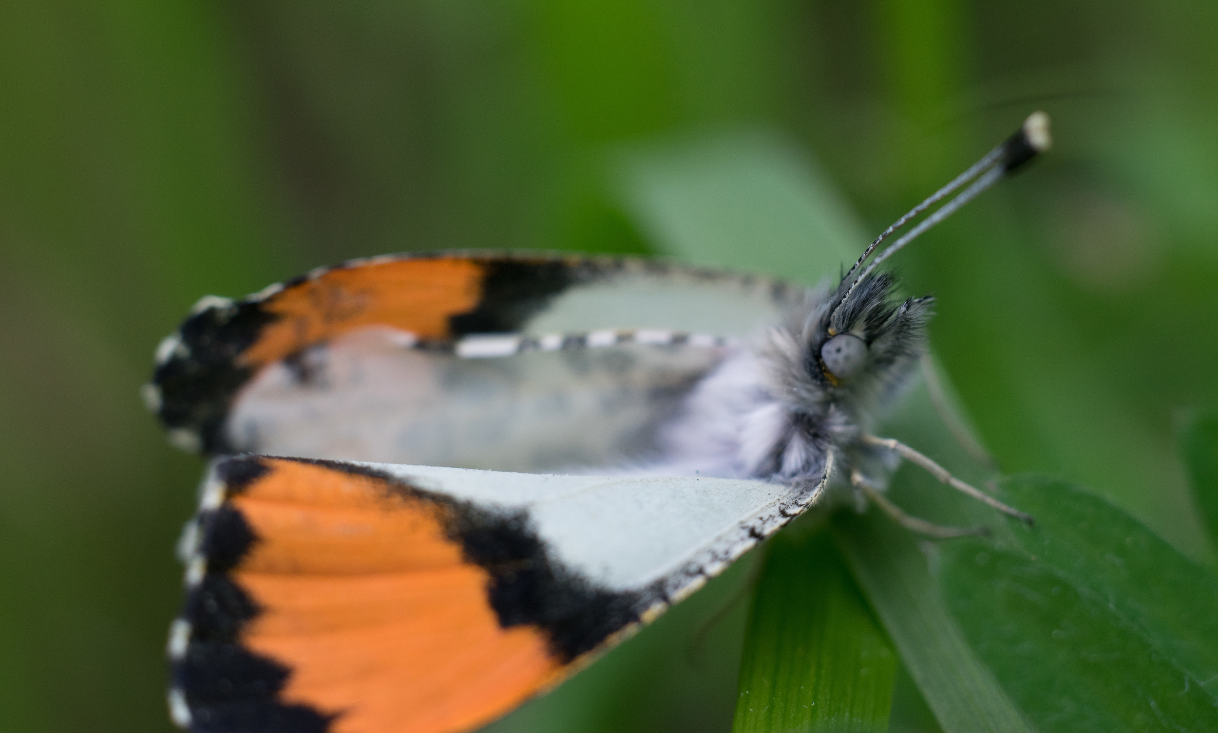A recently eclosed (emerged) Sara Orangetip butterfly. It may have a slightly misshapen wing, which was why it couldn't fly. Photo by Tony Iwane.