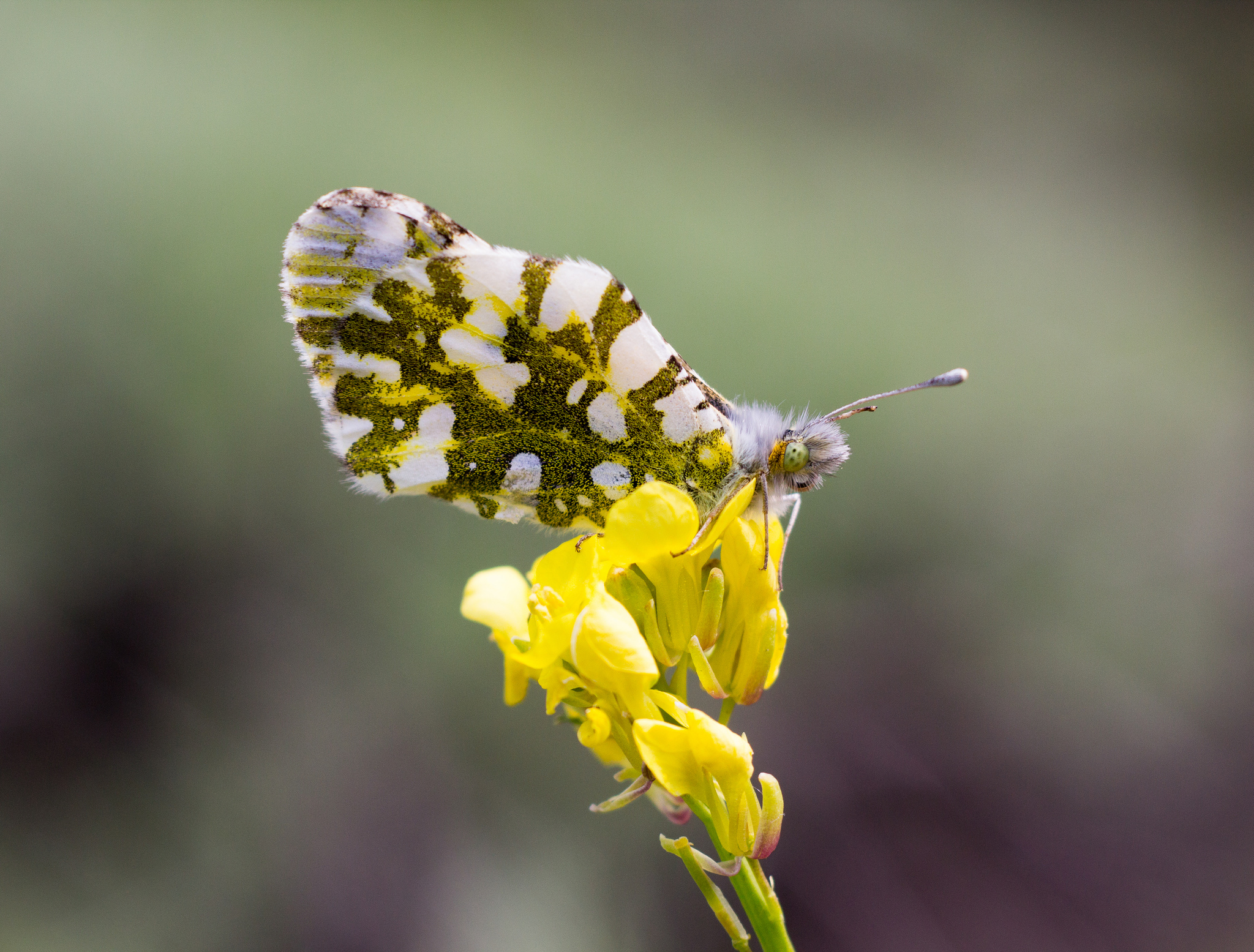 Large Marble butterfly. Photo by Tony Iwane.
