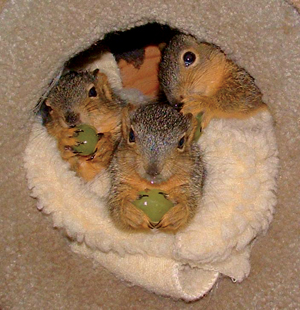 Baby squirrels being fostered by Yggdrasil Urban Wildlife Rescue