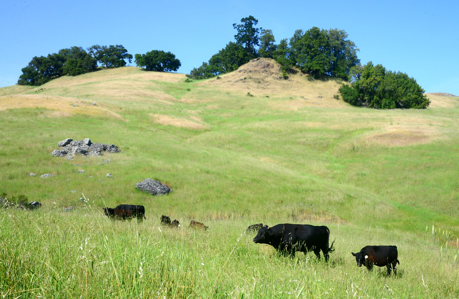 Angus cattle grazing on Pepperwood Preserve