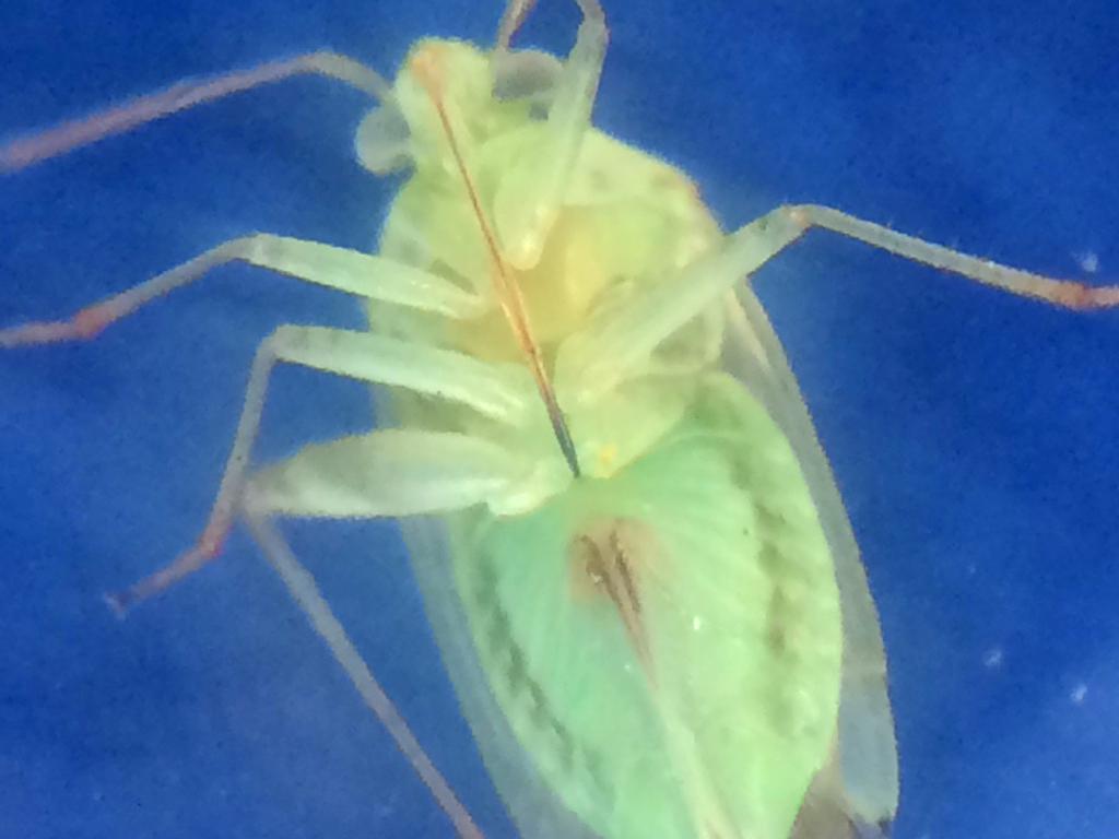 True Bug (Suborder Heteroptera) by Blisseth Sy