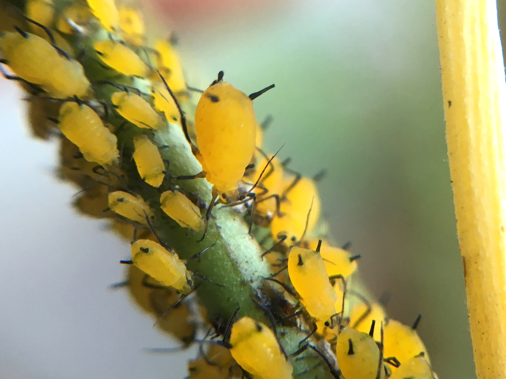 Oleander Aphid (Aphis nerii) by Damon Tighe