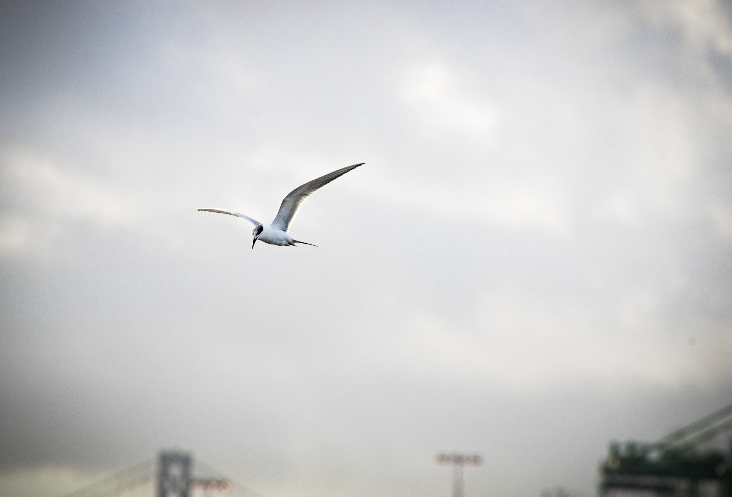 A Forster's Tern hunts at Middle Harbor Shoreline Park. Photo by Tony Iwane.