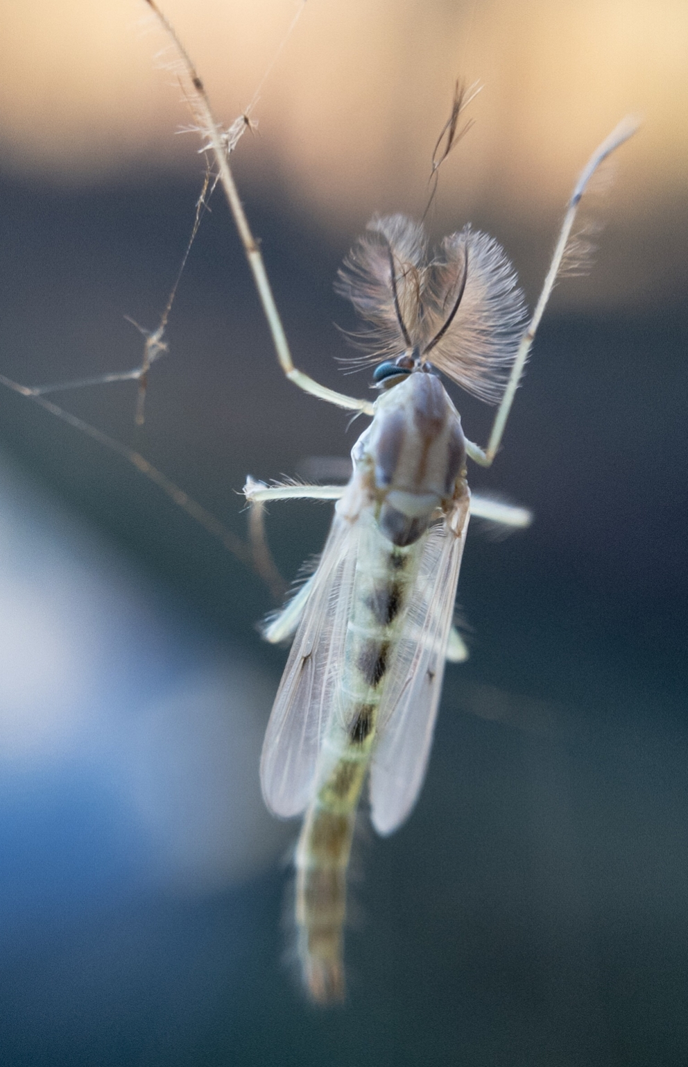 A male Non-biting Midge. Photo by Tony Iwane, taken on an iPhone with clip-on macro lens