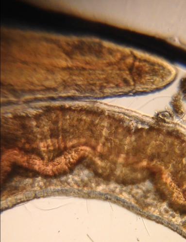 Polychaete from Lake Merritt, imaged with Foldscope