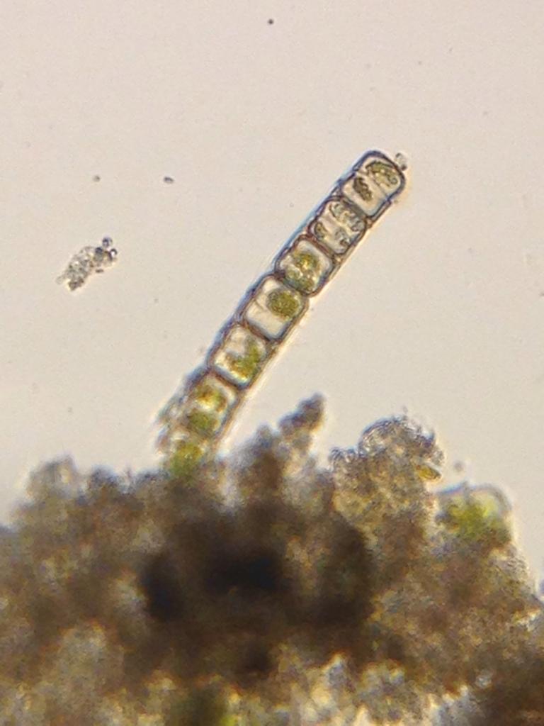 Melosira varians from Lake Merritt, imaged with Foldscope